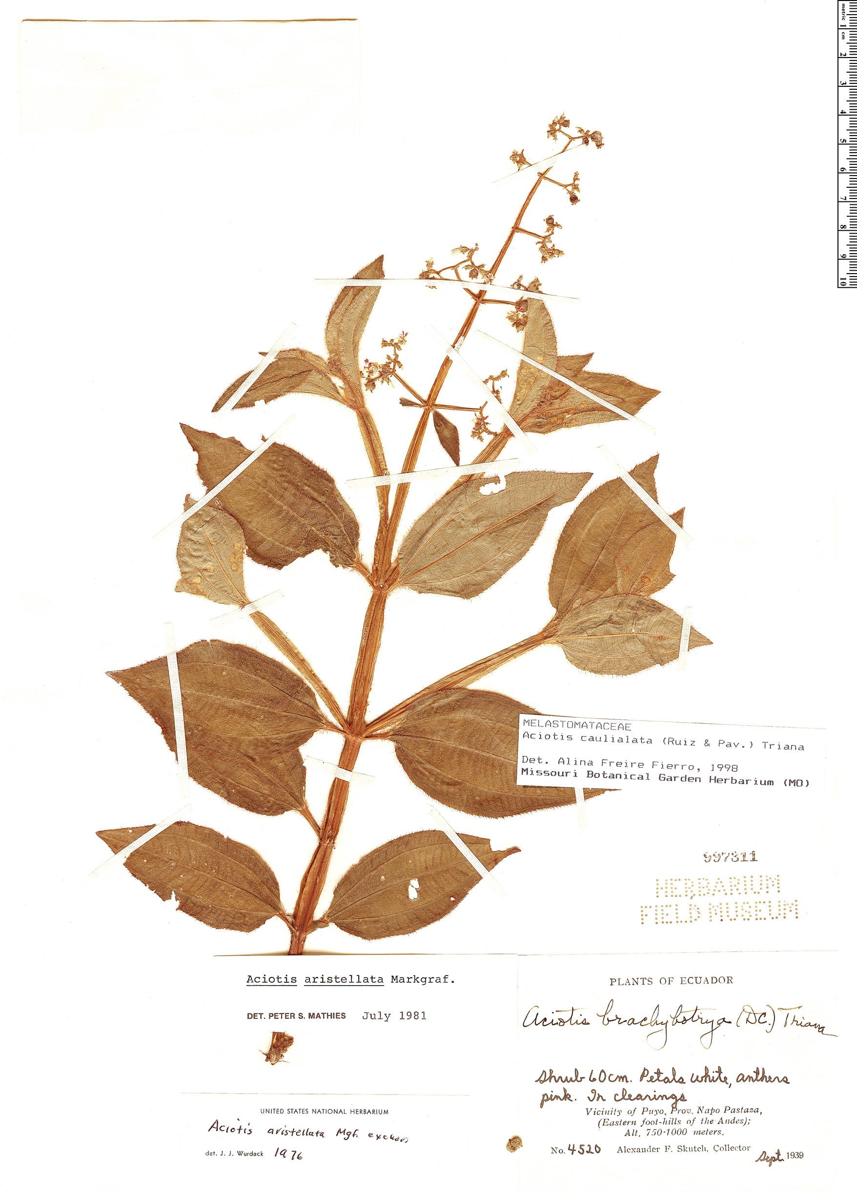 Specimen: Aciotis rubricaulis