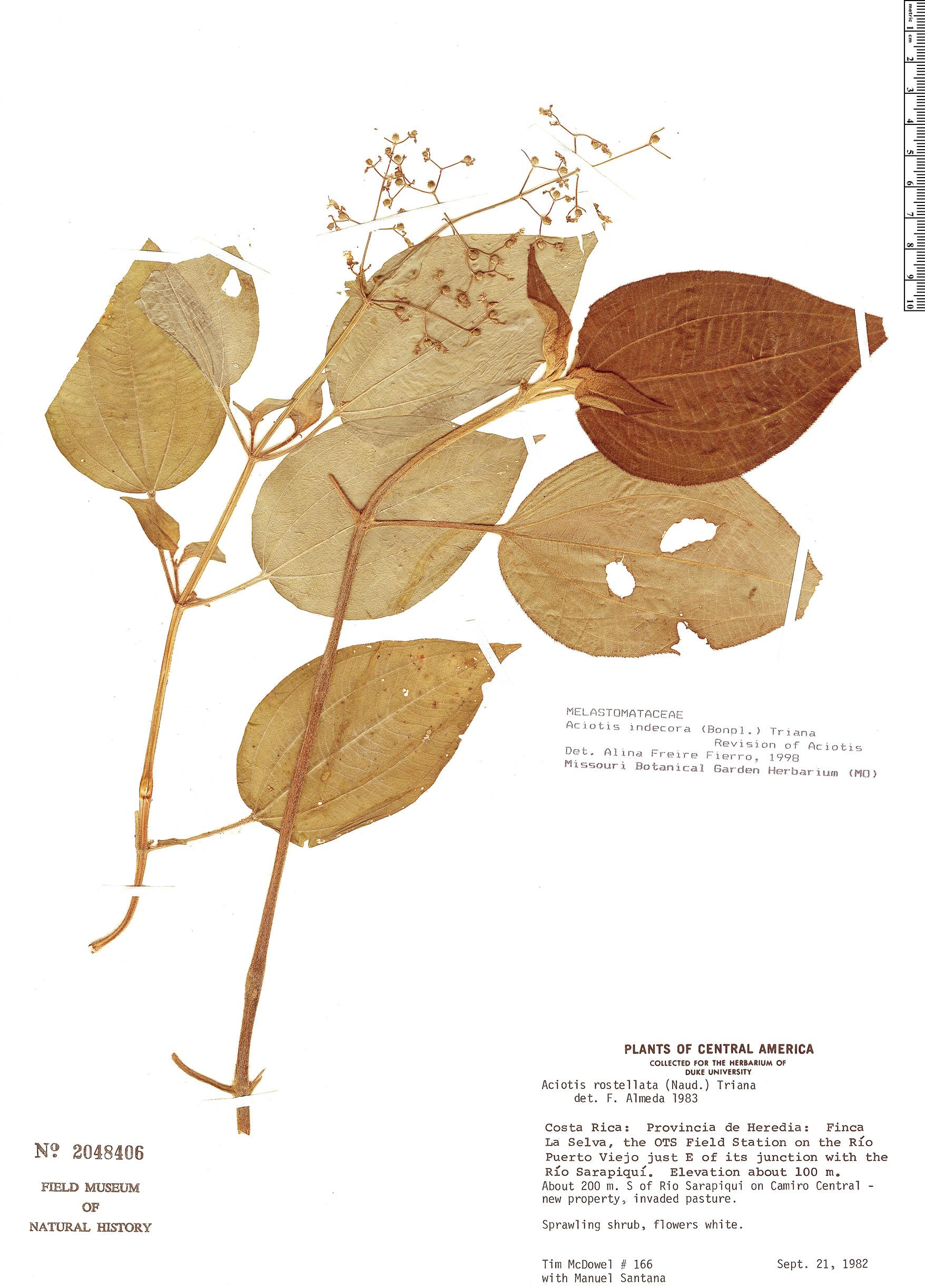 Specimen: Aciotis indecora