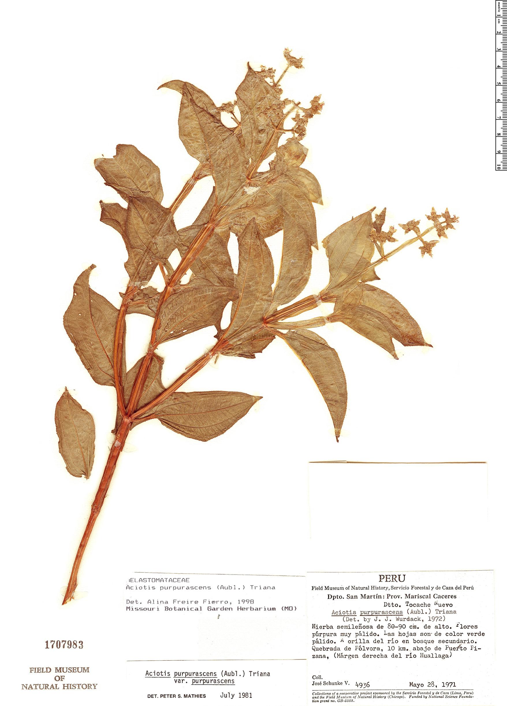 Specimen: Aciotis purpurascens