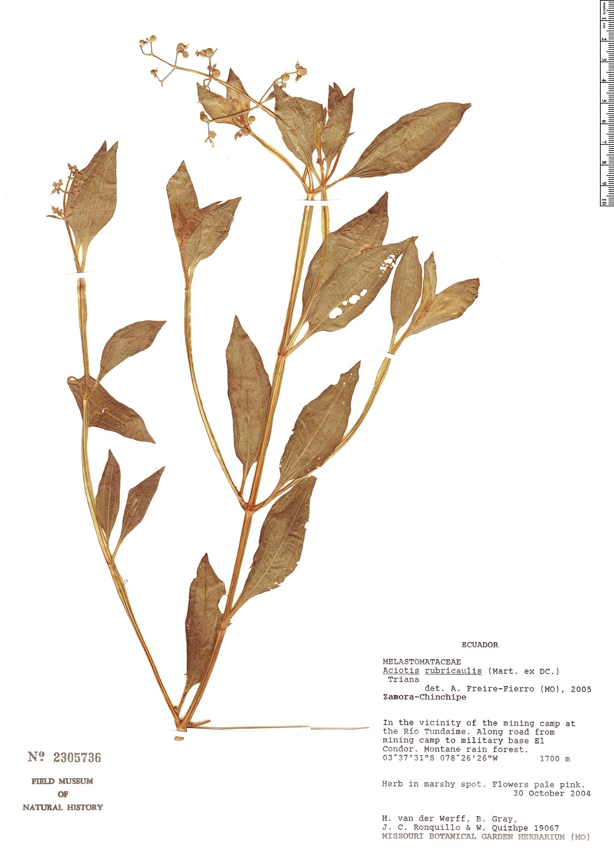 Espécime: Aciotis rubricaulis