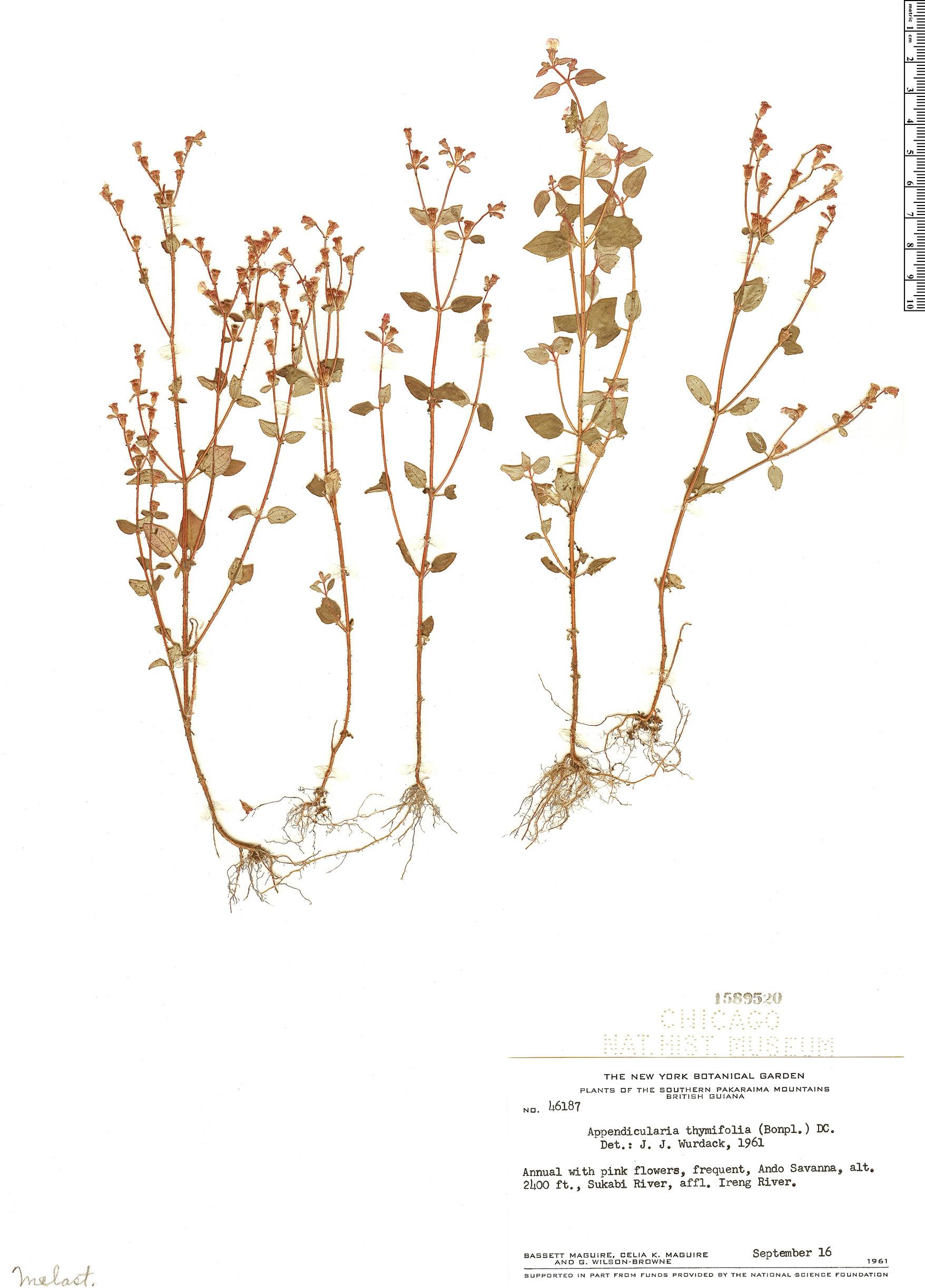 Espécime: Appendicularia thymifolia