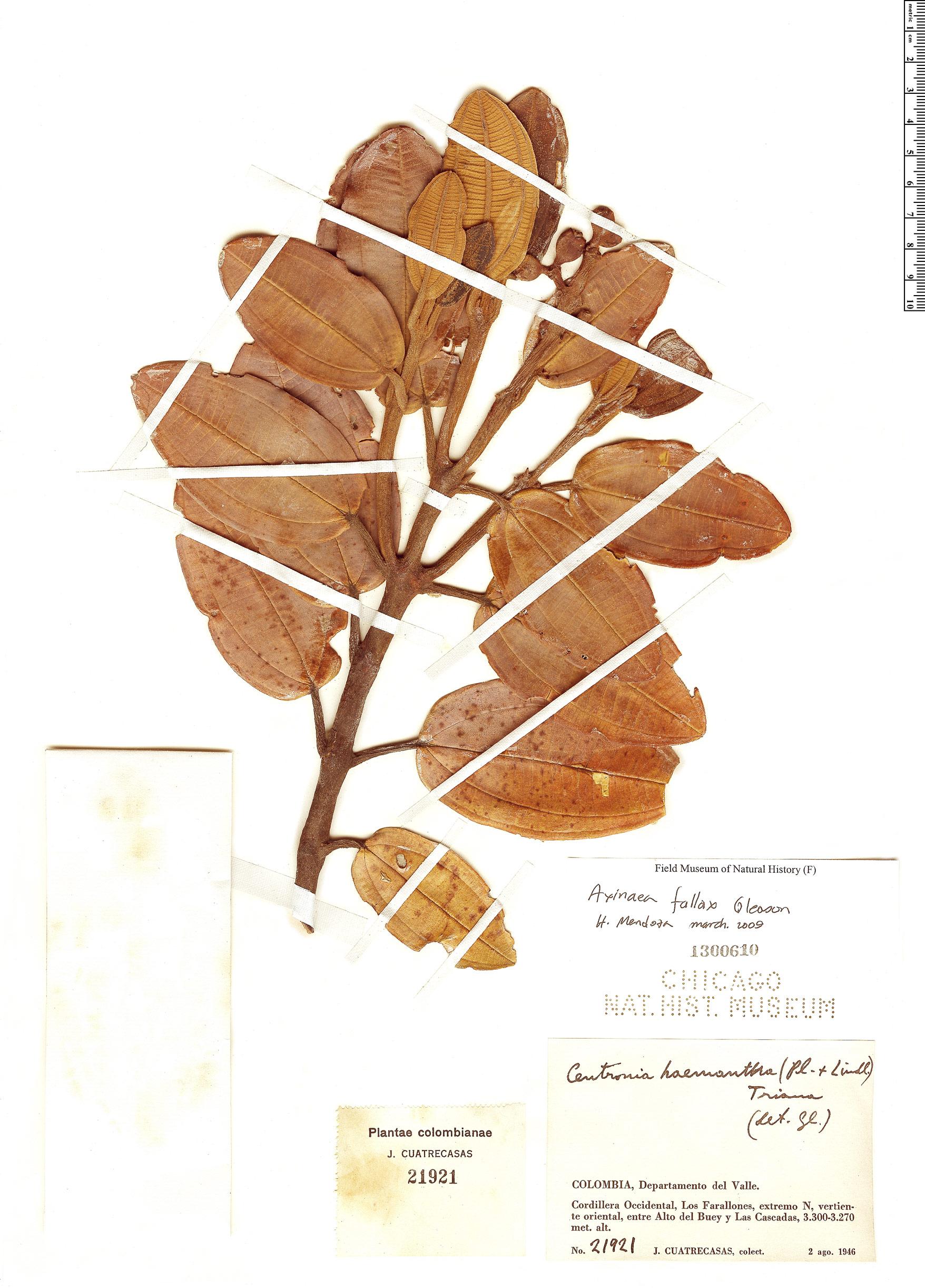 Specimen: Axinaea fallax