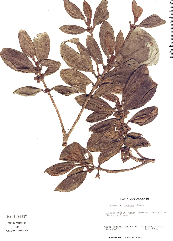 Specimen: Blakea chlorantha
