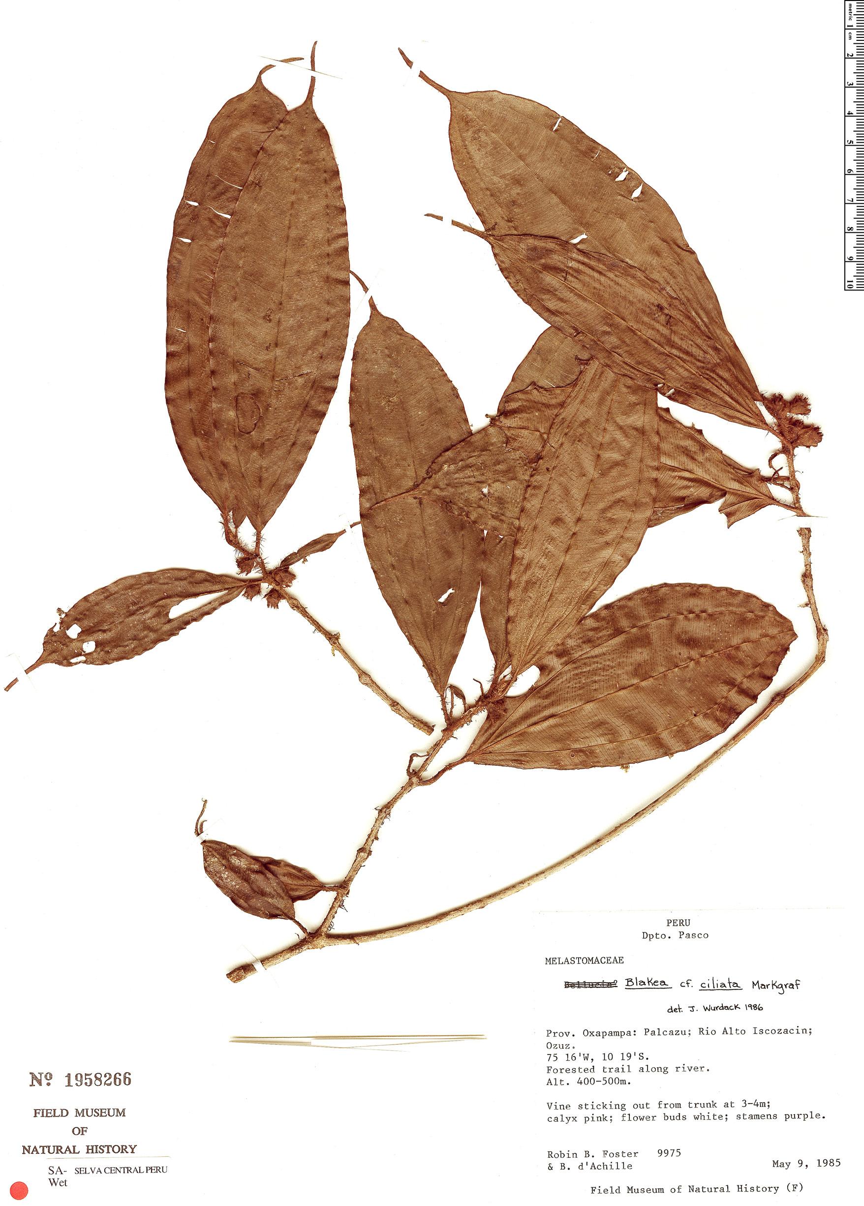 Specimen: Blakea ciliata
