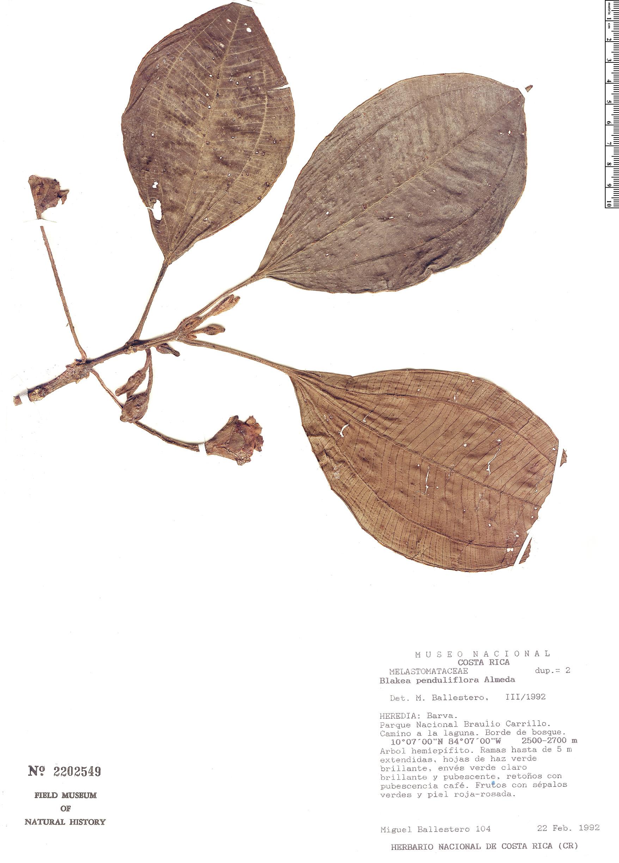 Specimen: Blakea penduliflora