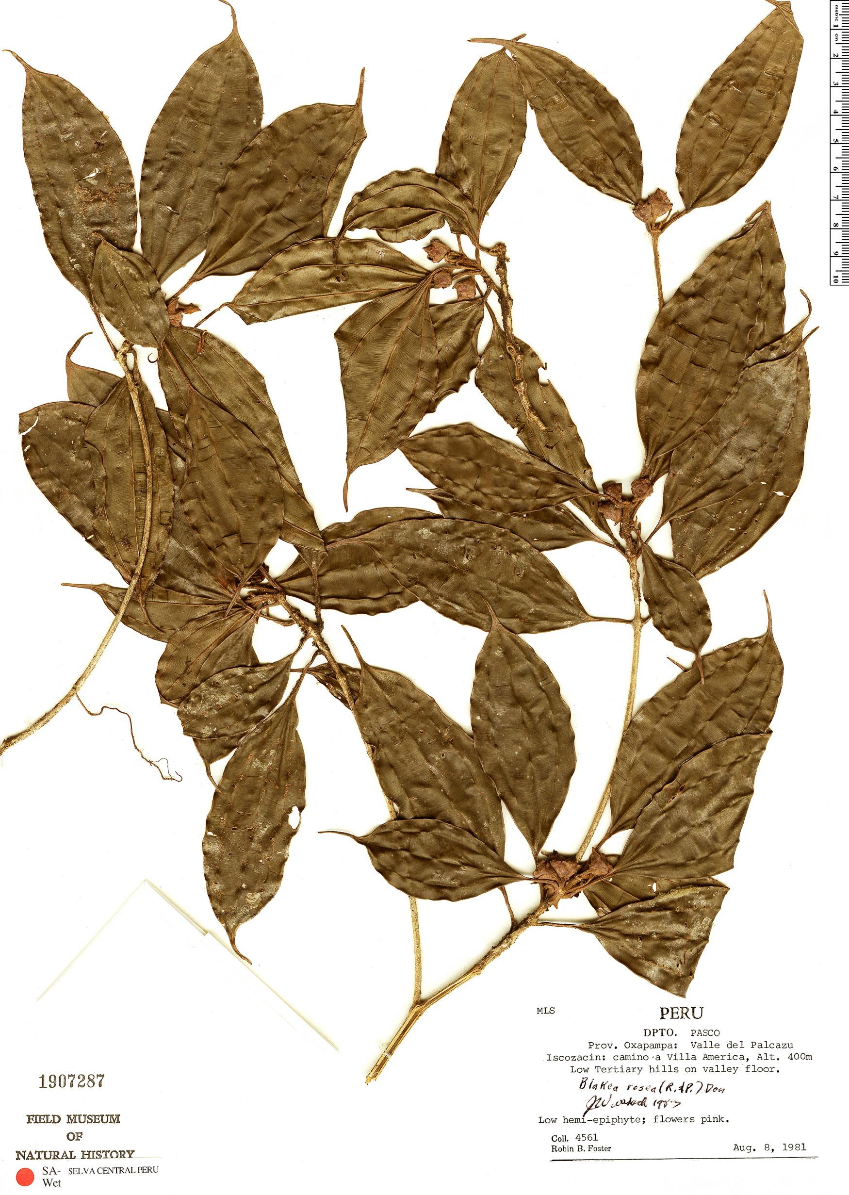 Specimen: Blakea rosea