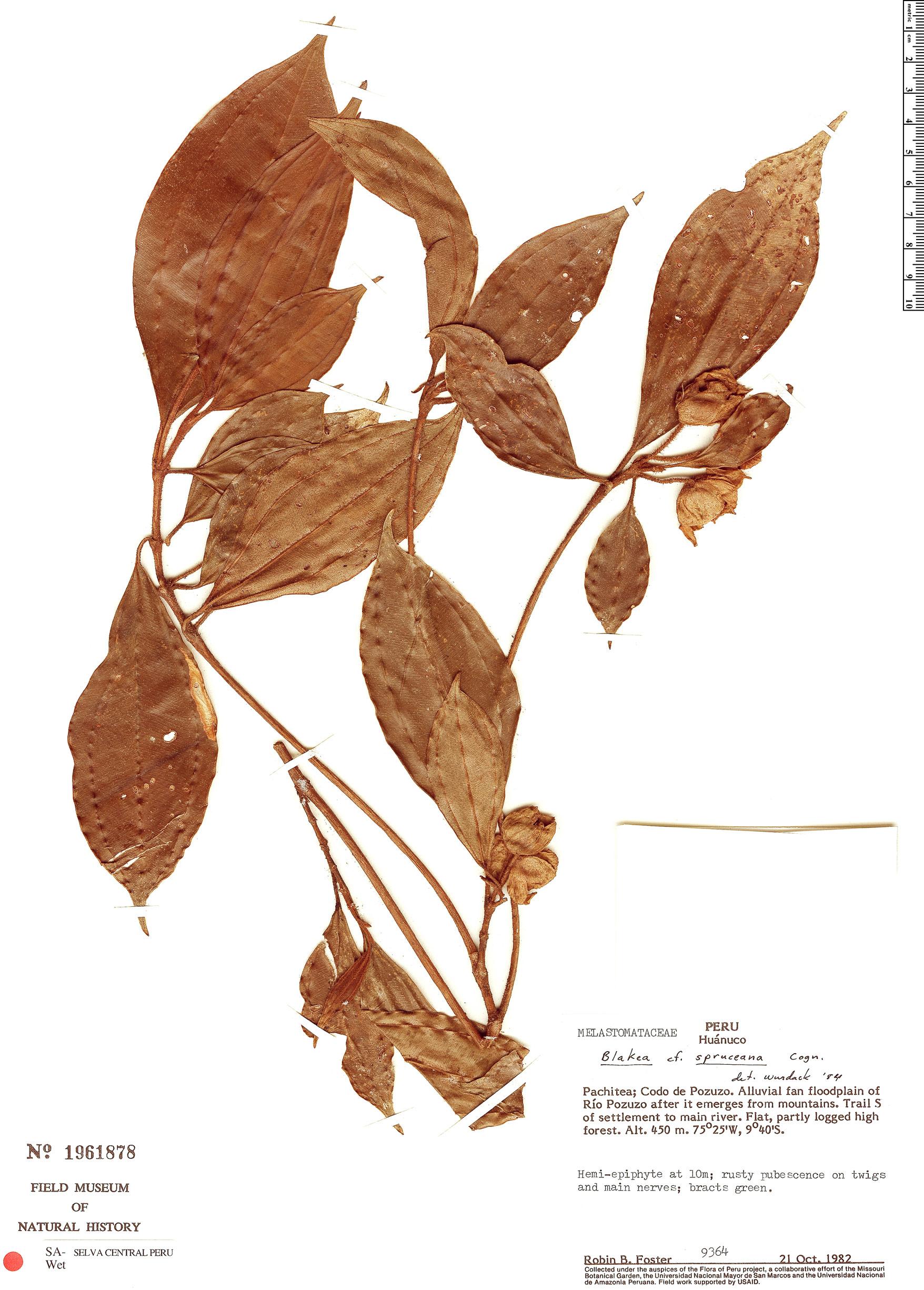 Espécimen: Blakea spruceana
