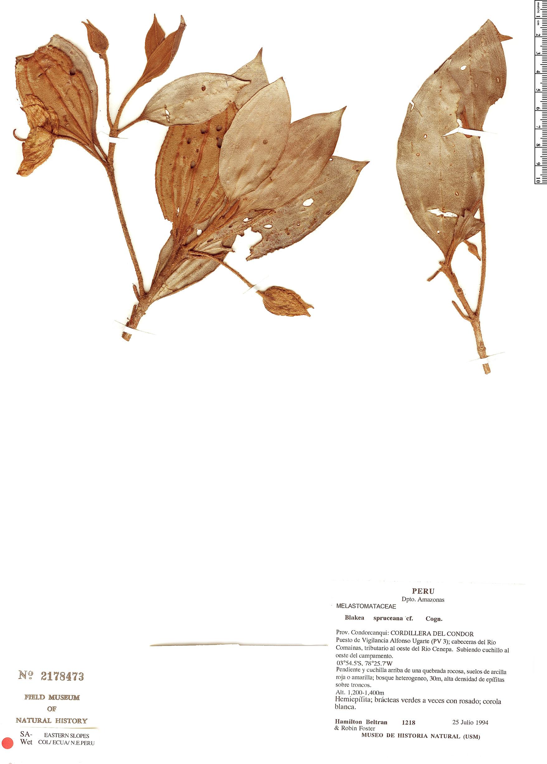 Specimen: Blakea spruceana