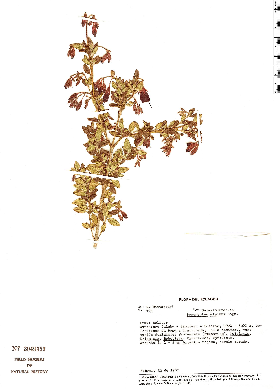 Specimen: Brachyotum alpinum
