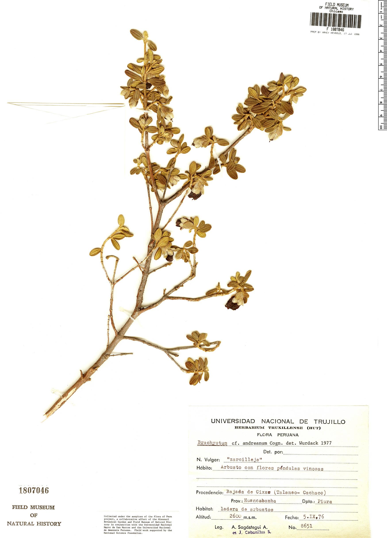 Specimen: Brachyotum andreanum