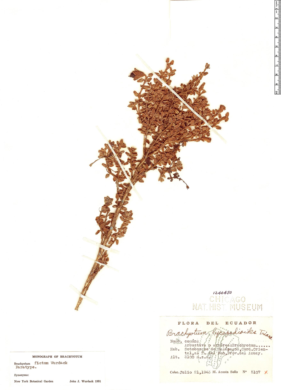 Specimen: Brachyotum fictum