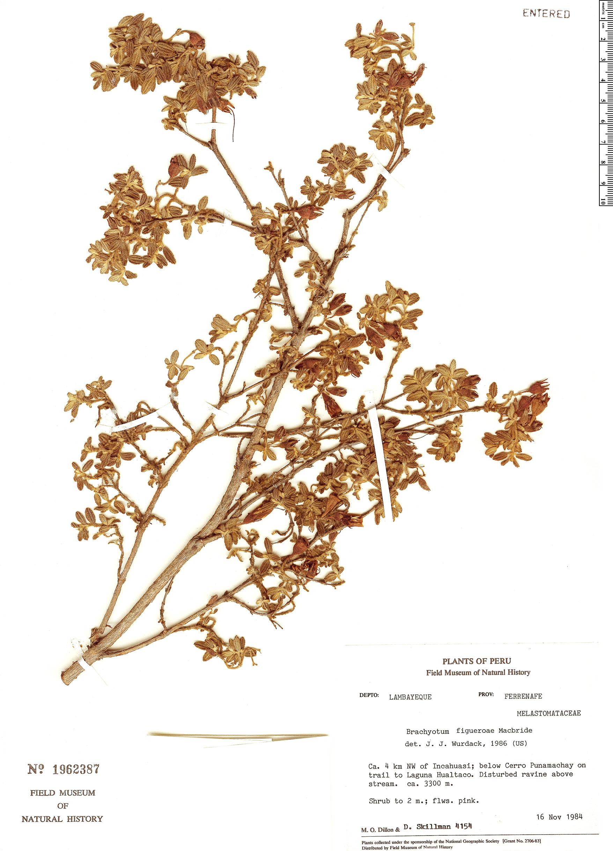 Specimen: Brachyotum figueroae