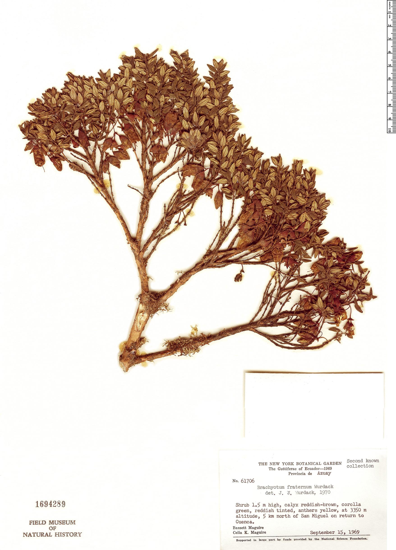 Specimen: Brachyotum fraternum