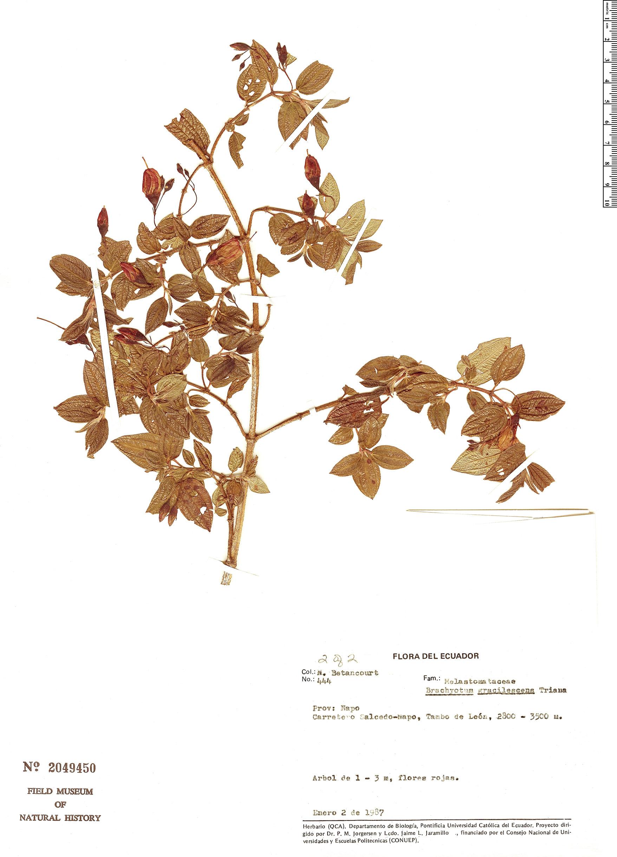 Specimen: Brachyotum gracilescens
