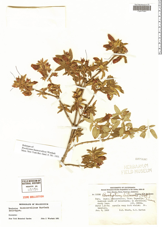 Specimen: Brachyotum huancavelicae