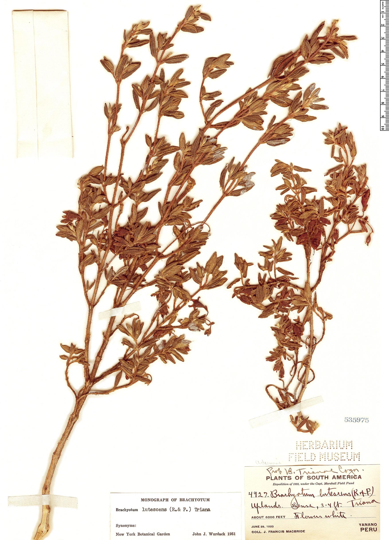 Specimen: Brachyotum lutescens