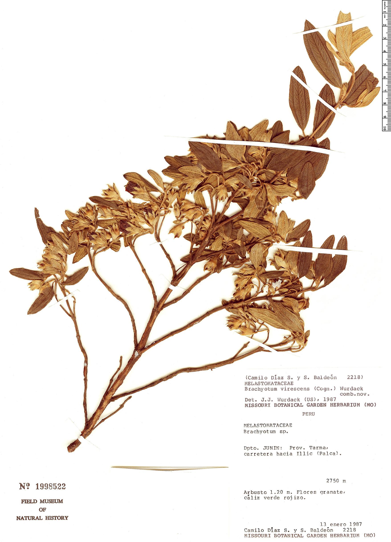 Specimen: Brachyotum virescens