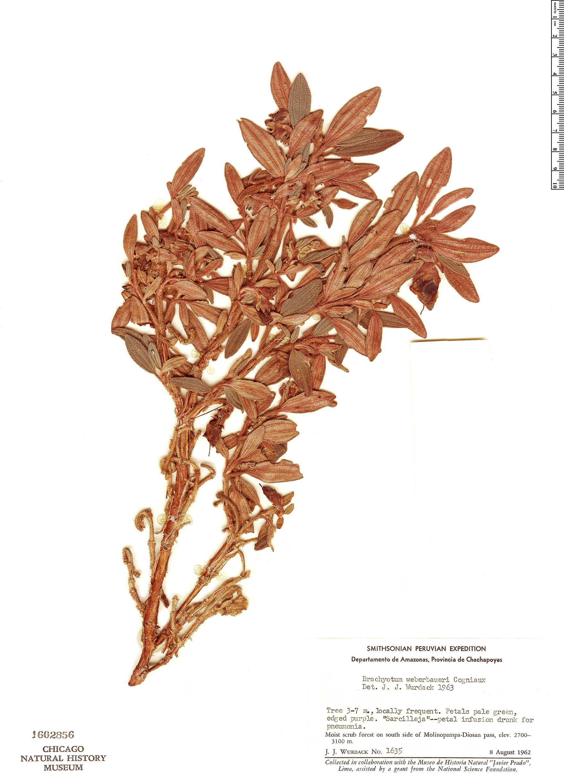 Specimen: Brachyotum weberbaueri