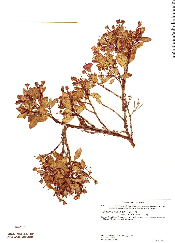 Specimen: Bucquetia glutinosa