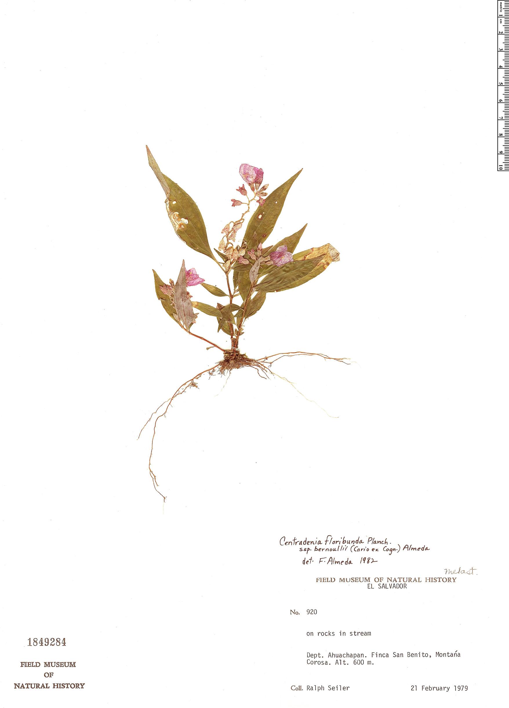 Specimen: Centradenia floribunda
