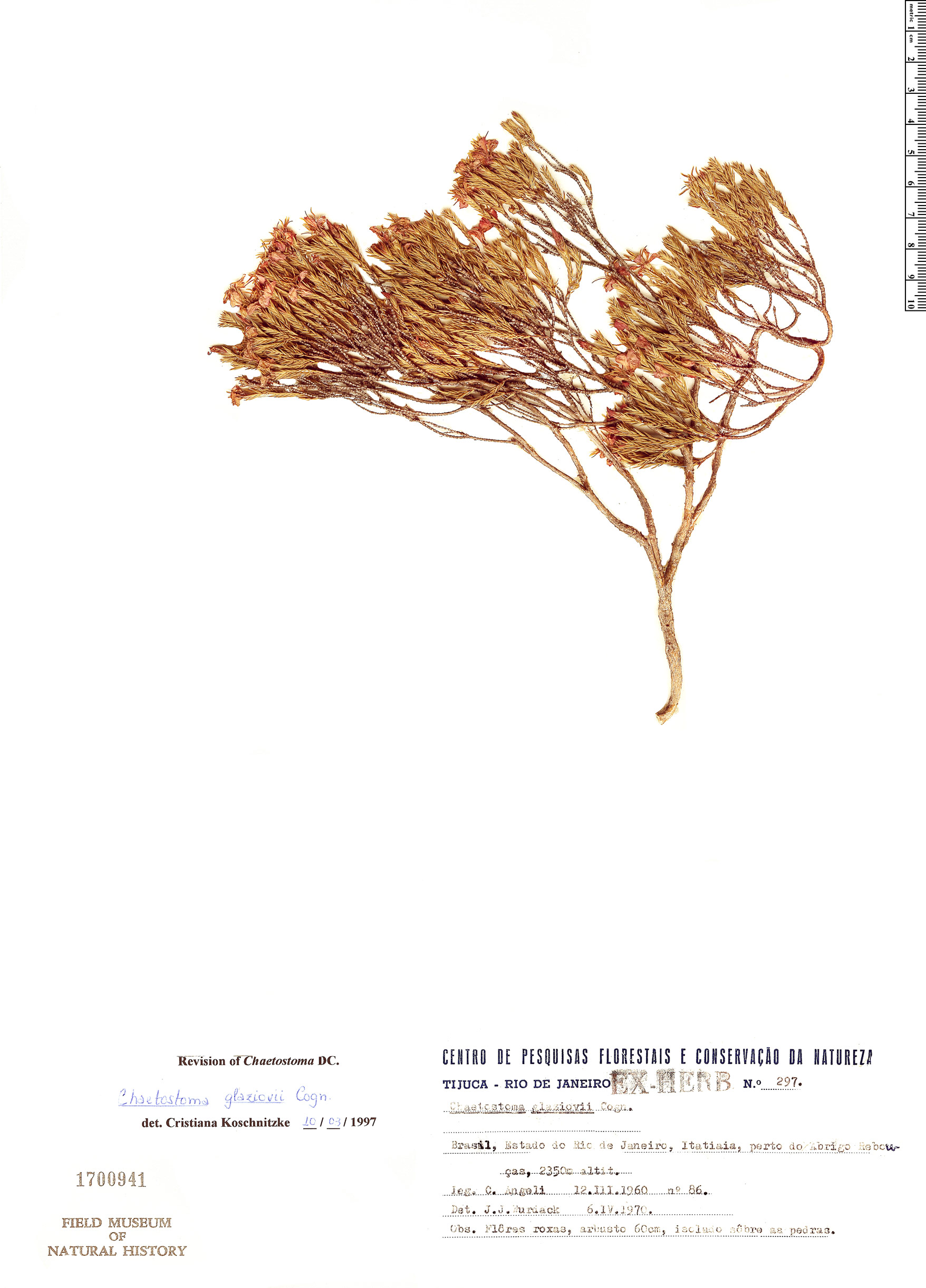 Specimen: Chaetostoma glaziovii