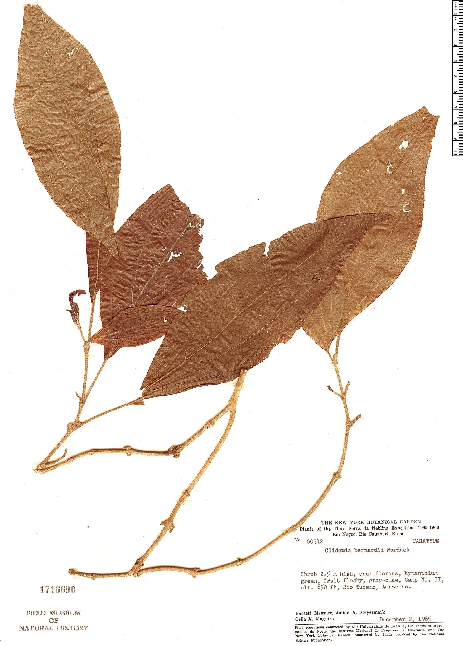 Specimen: Clidemia bernardii