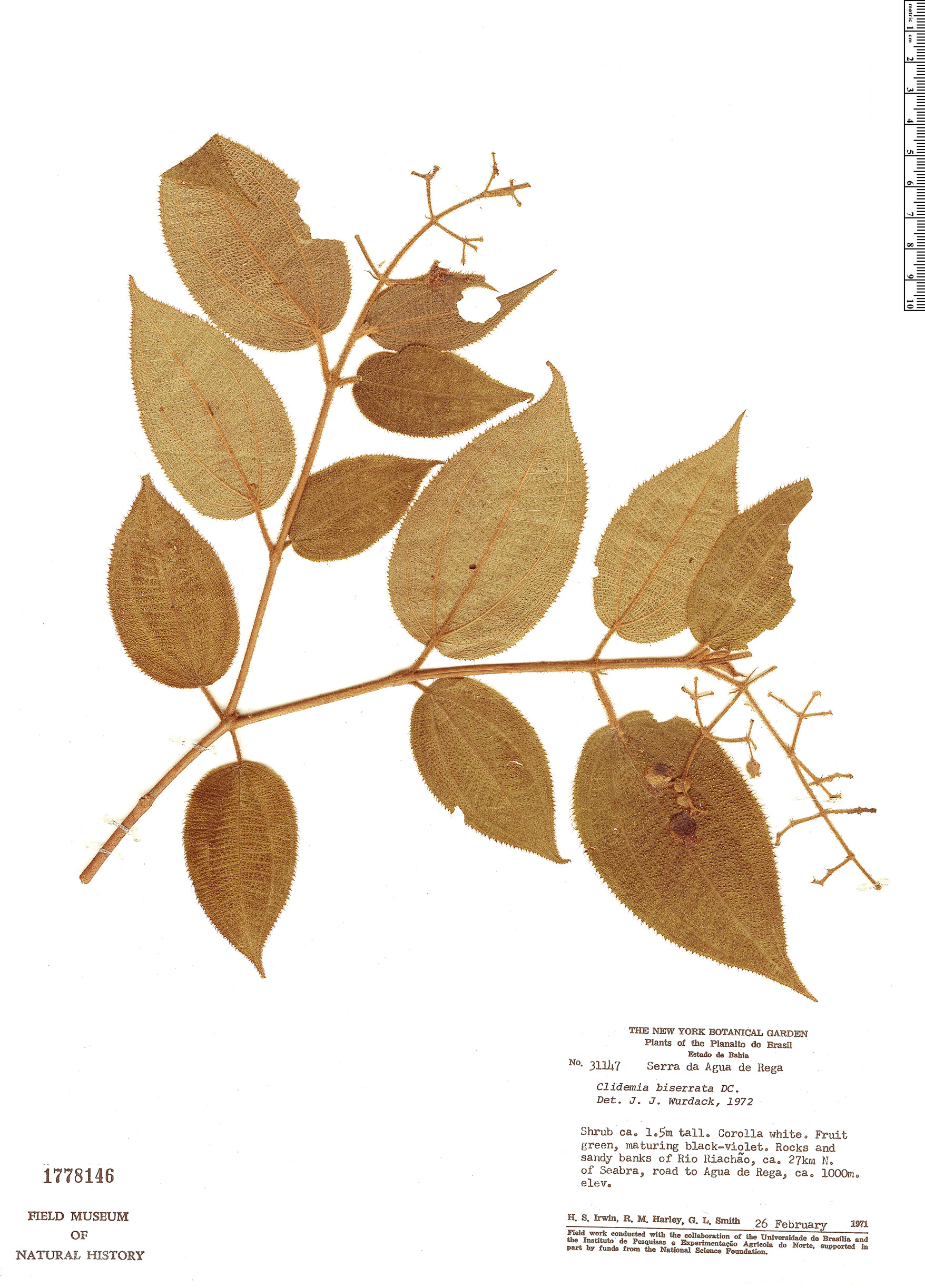 Specimen: Clidemia biserrata