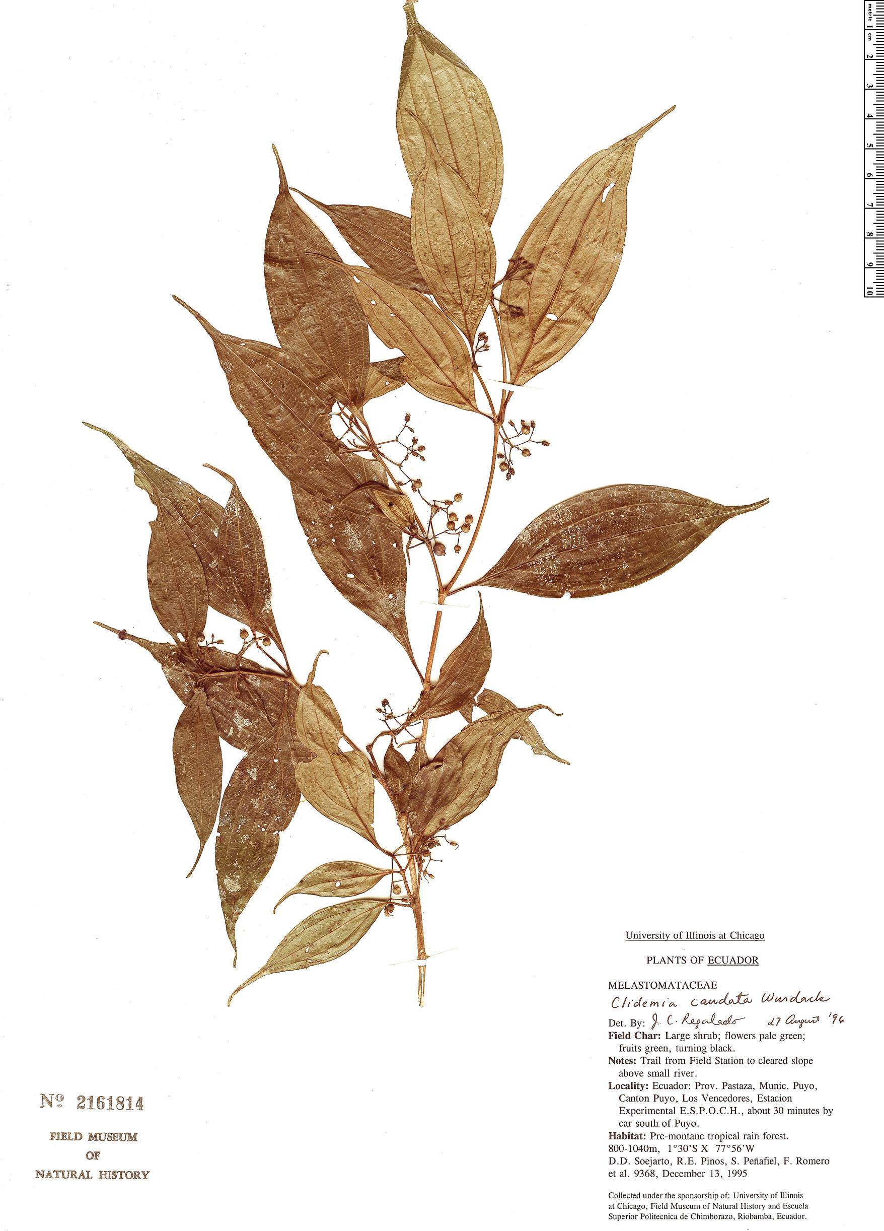 Specimen: Clidemia caudata