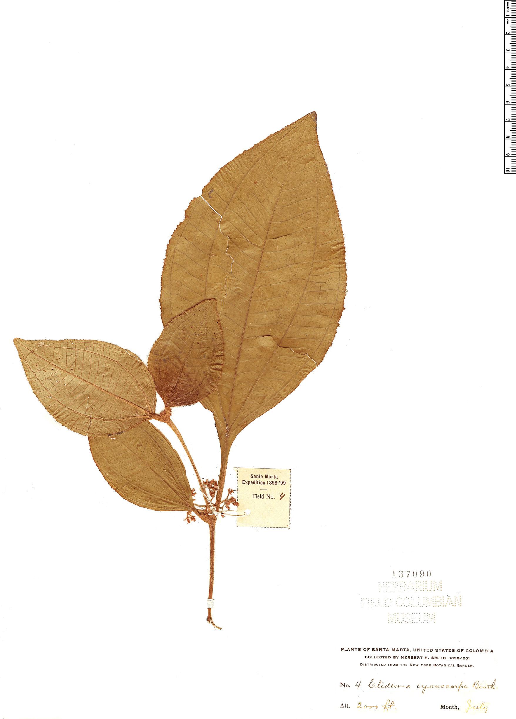 Espécime: Clidemia cyanocarpa