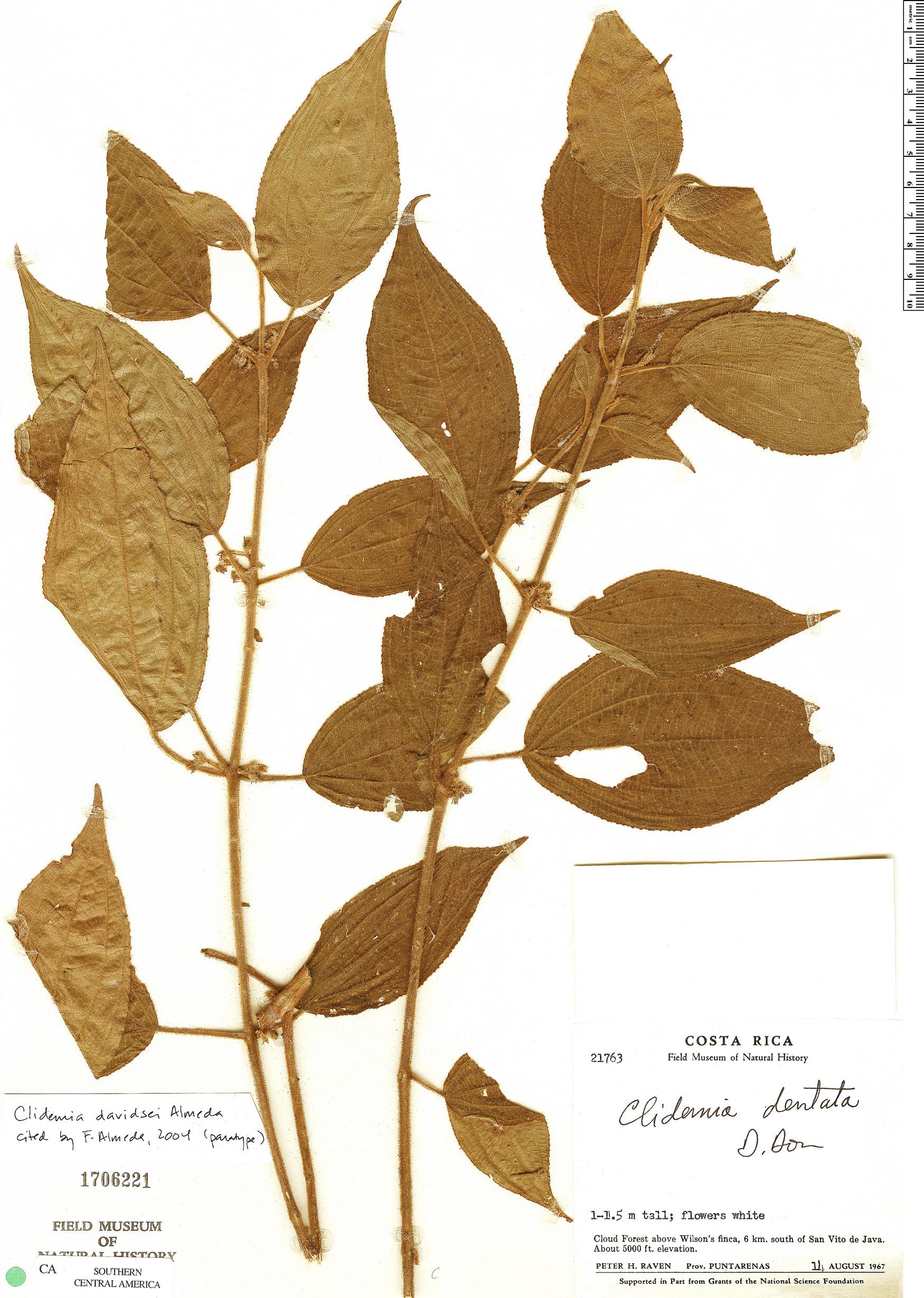 Specimen: Clidemia davidsei