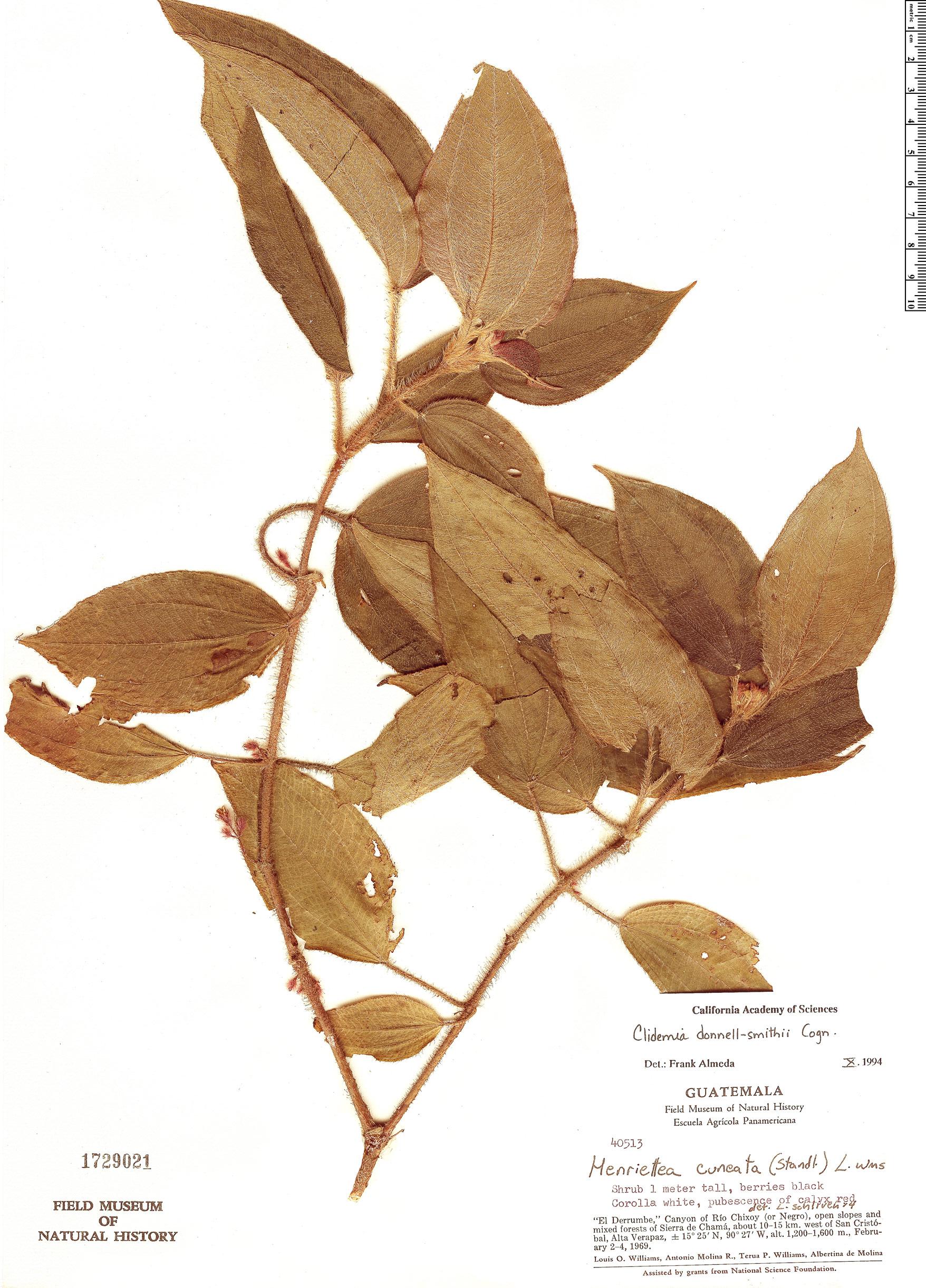Specimen: Clidemia donnell-smithii