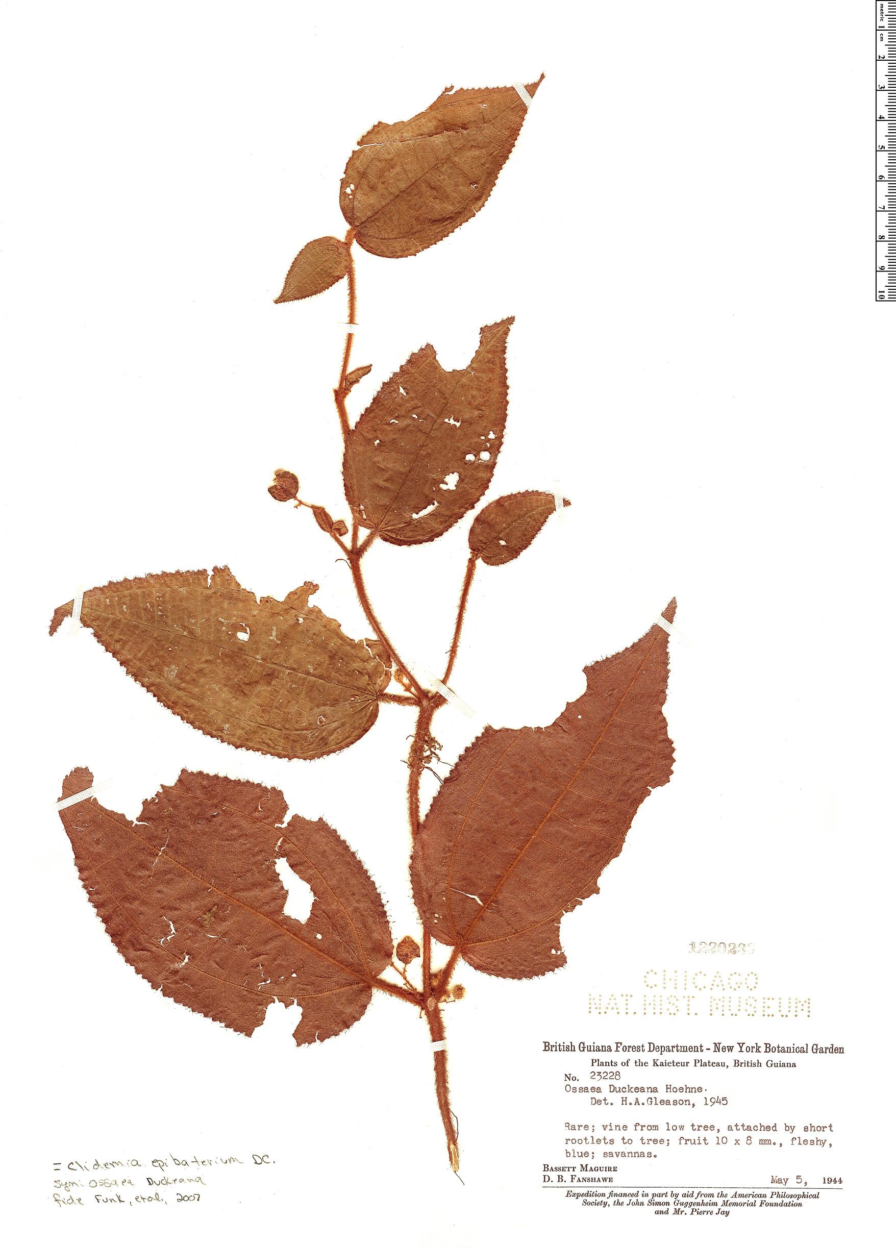 Specimen: Clidemia epibaterium