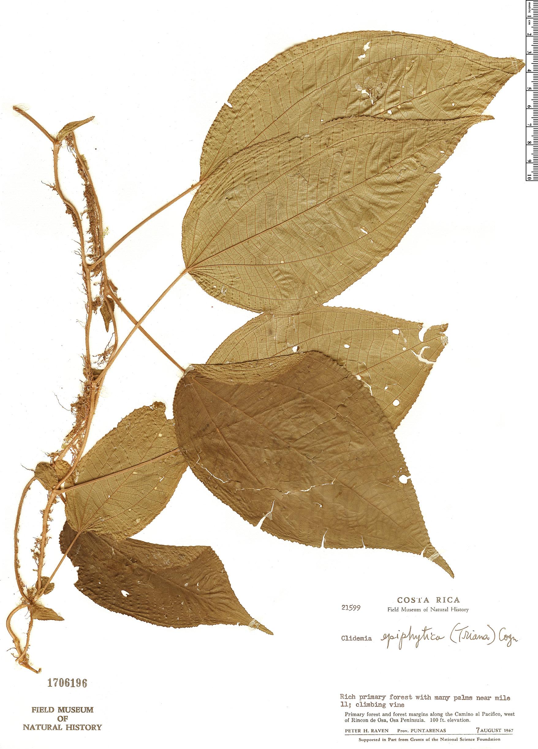 Specimen: Clidemia epiphytica