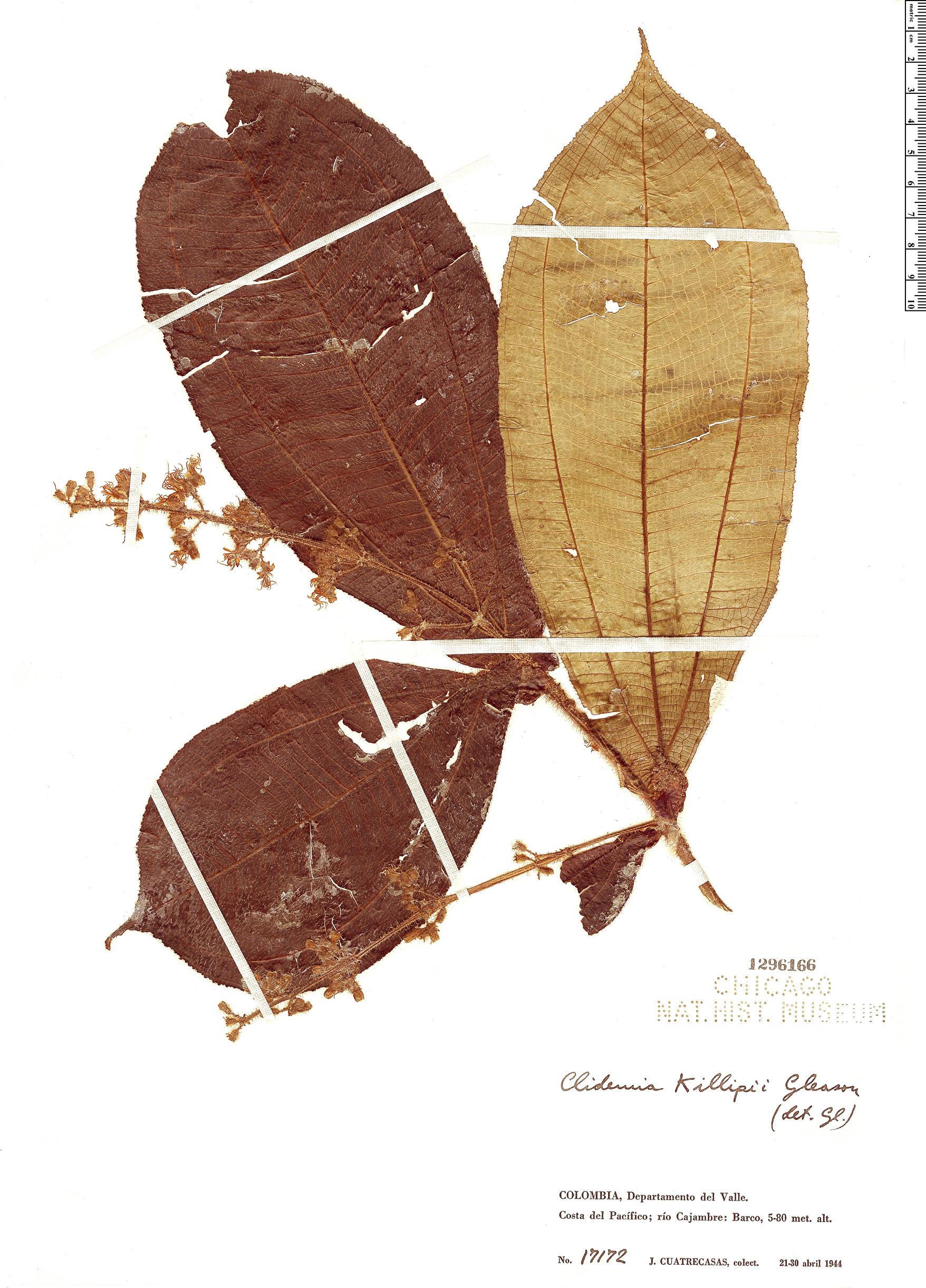 Specimen: Clidemia killipii