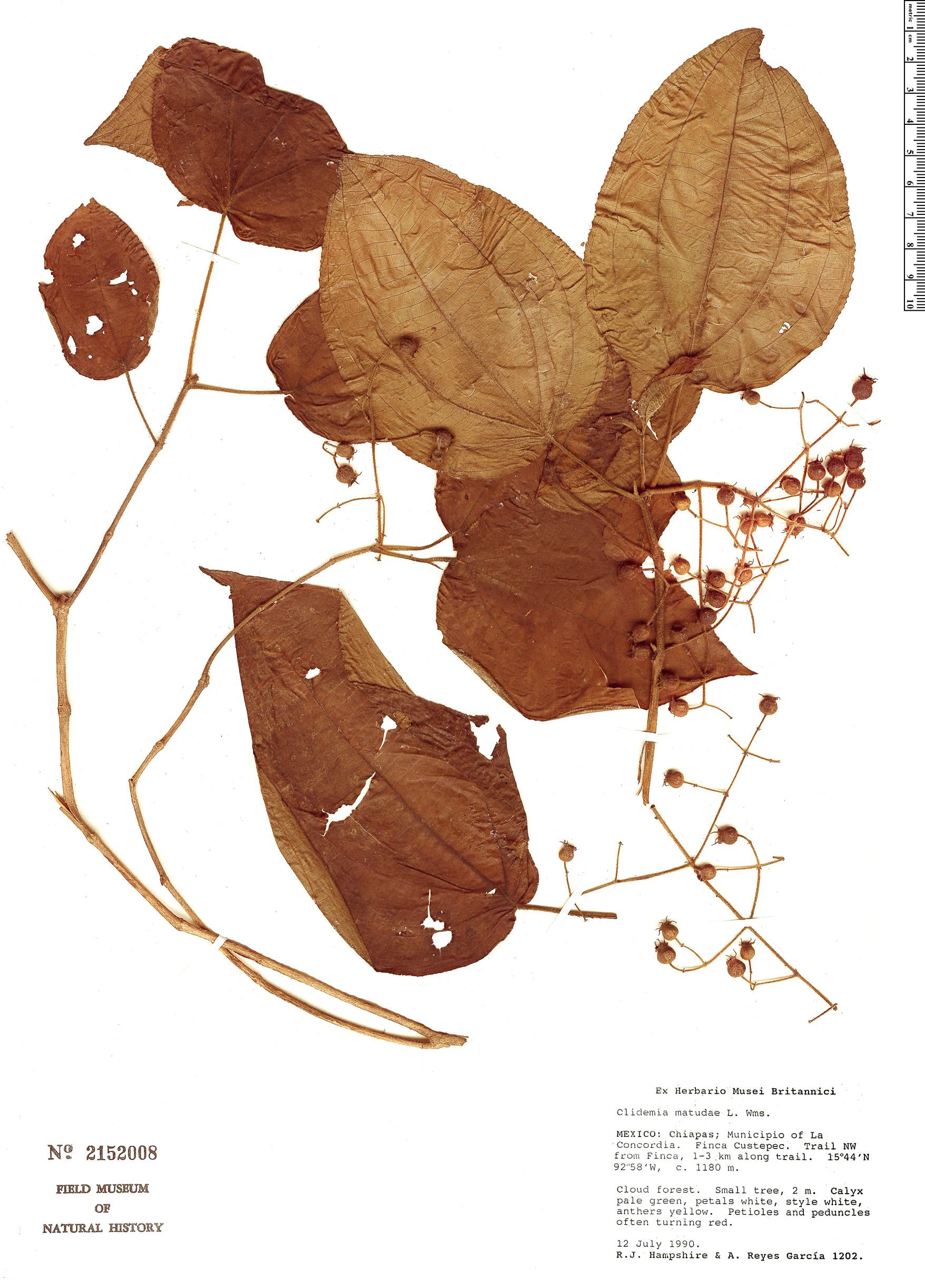 Specimen: Clidemia matudae