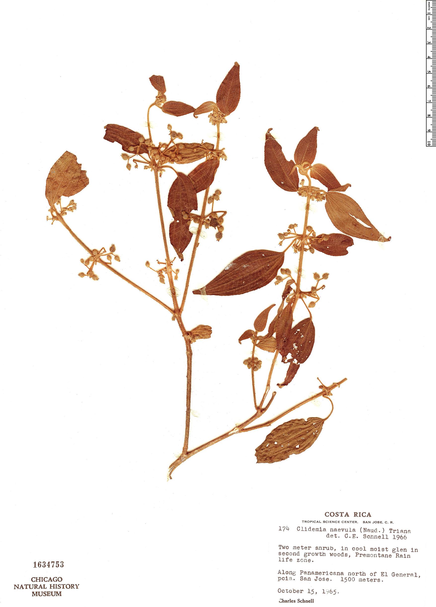 Specimen: Clidemia naevula