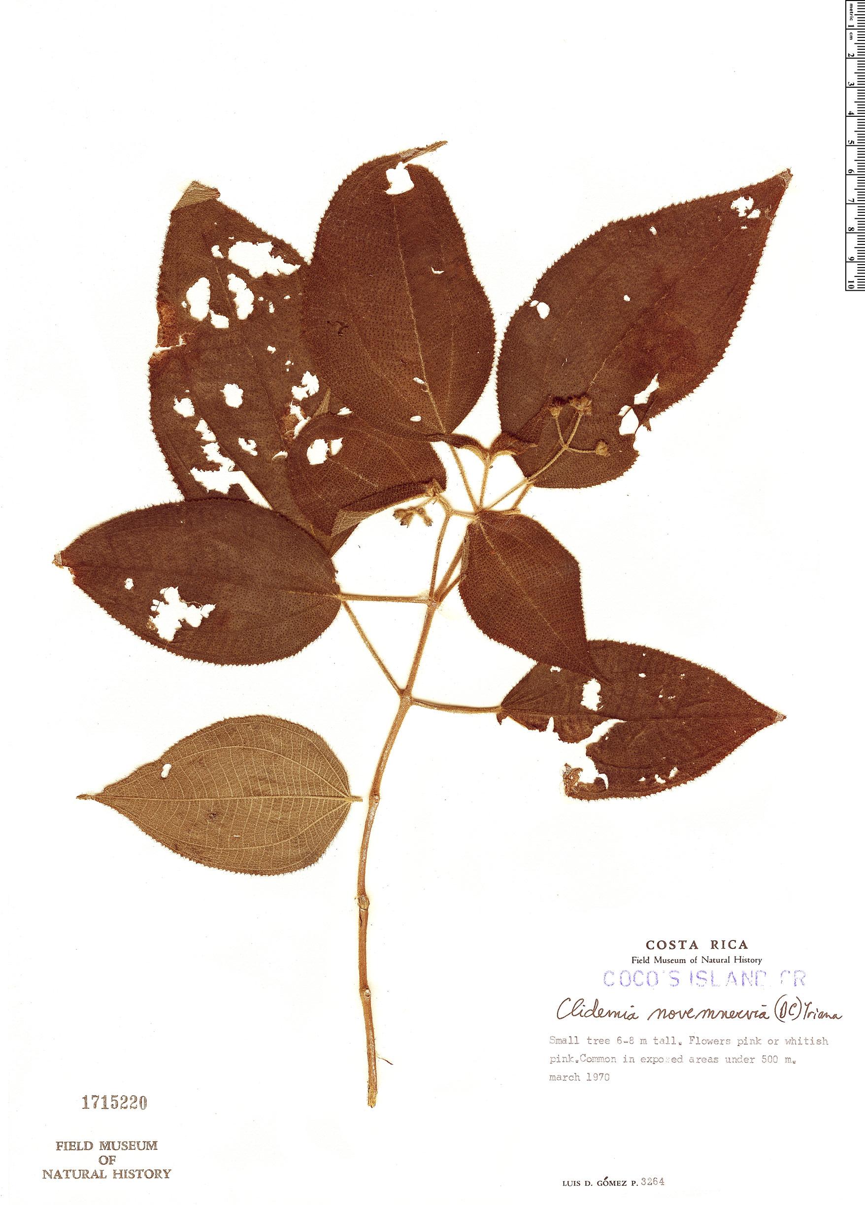 Specimen: Clidemia novemnervia