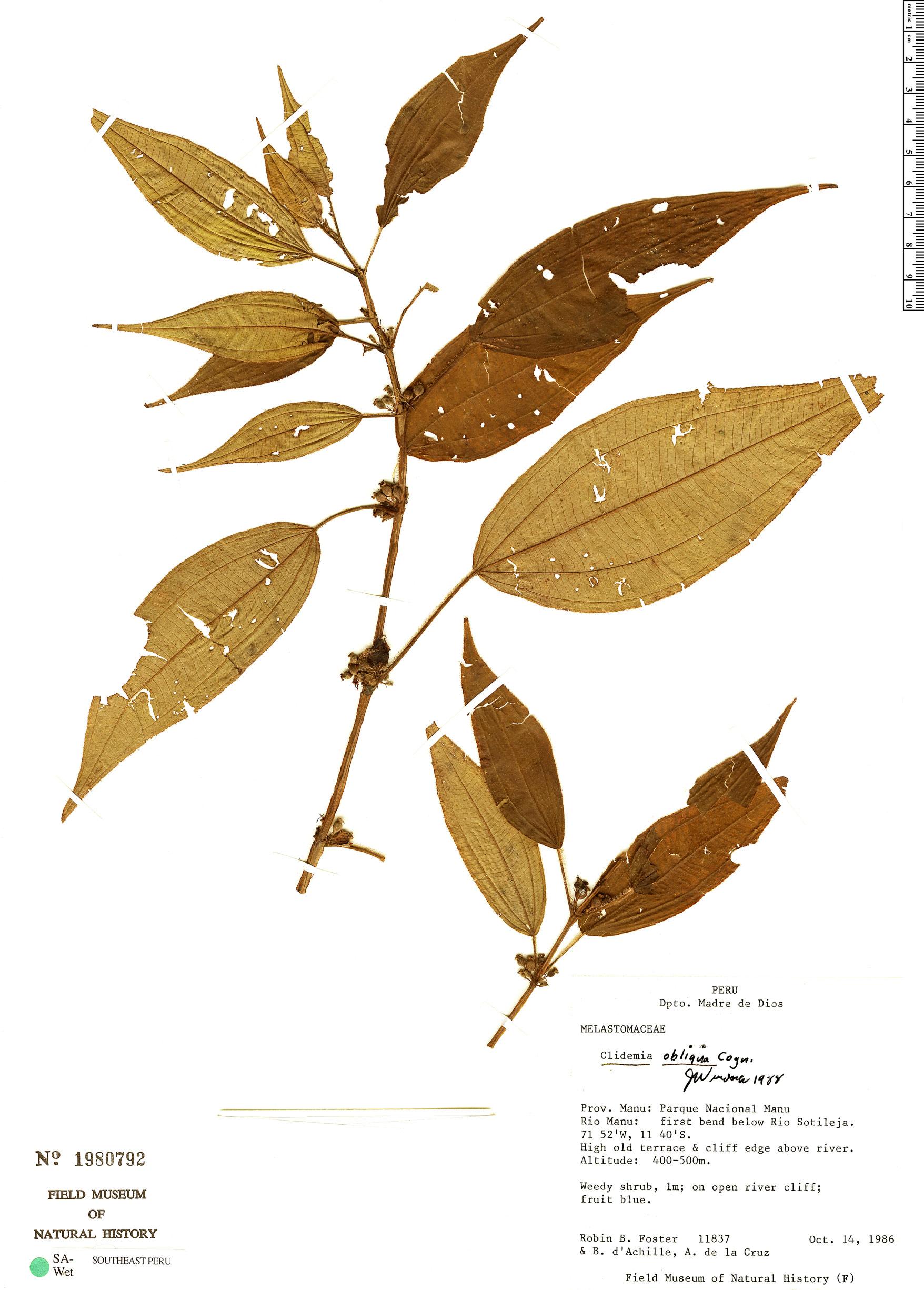 Specimen: Clidemia obliqua