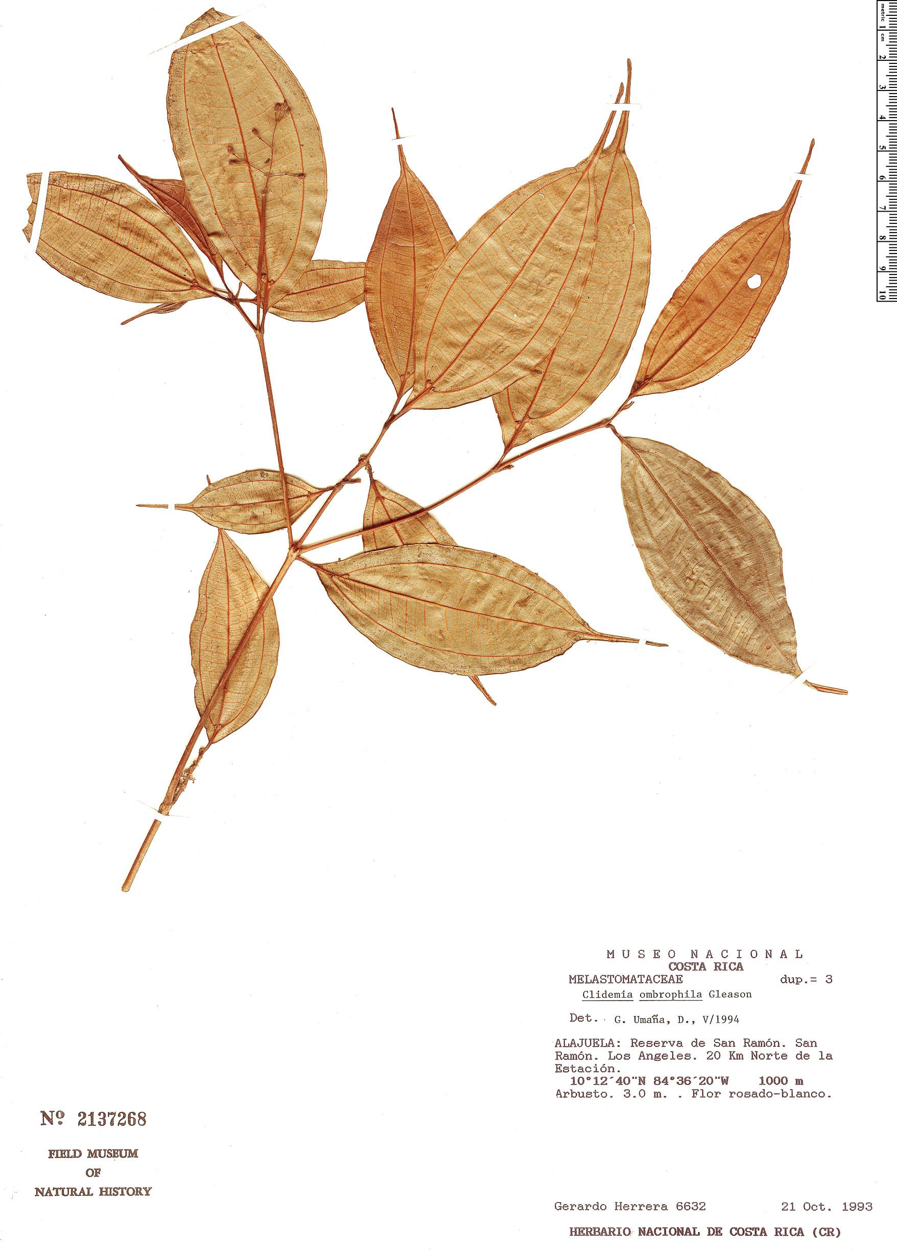 Specimen: Clidemia ombrophila