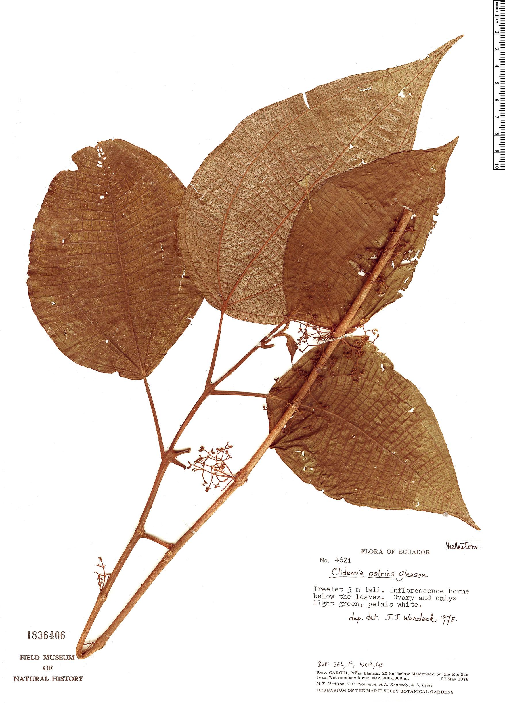 Specimen: Clidemia ostrina