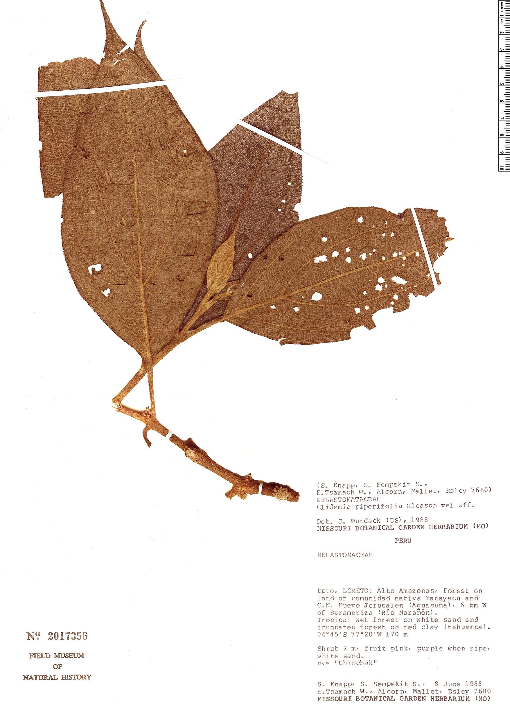 Espécime: Clidemia piperifolia