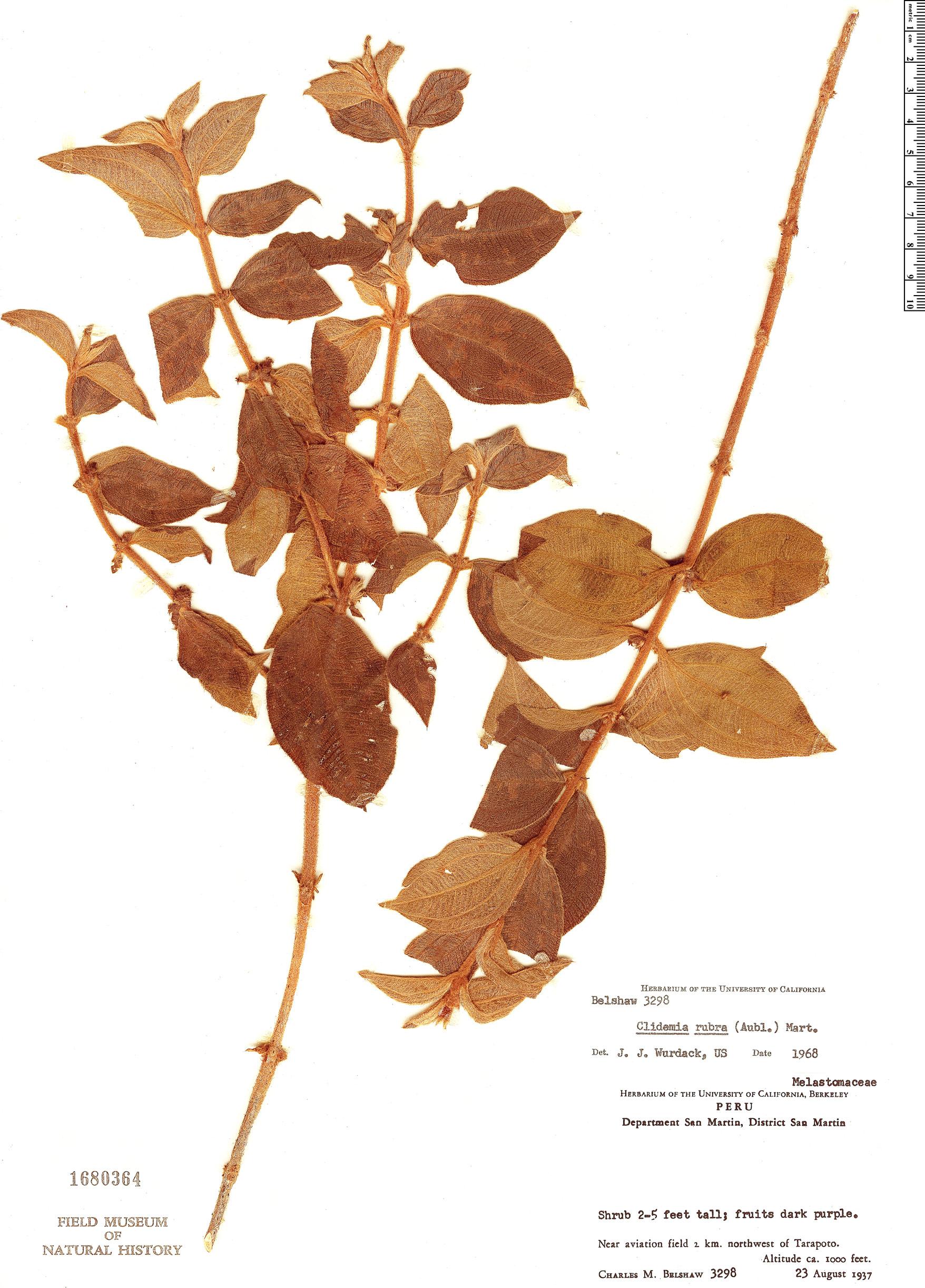 Specimen: Clidemia rubra