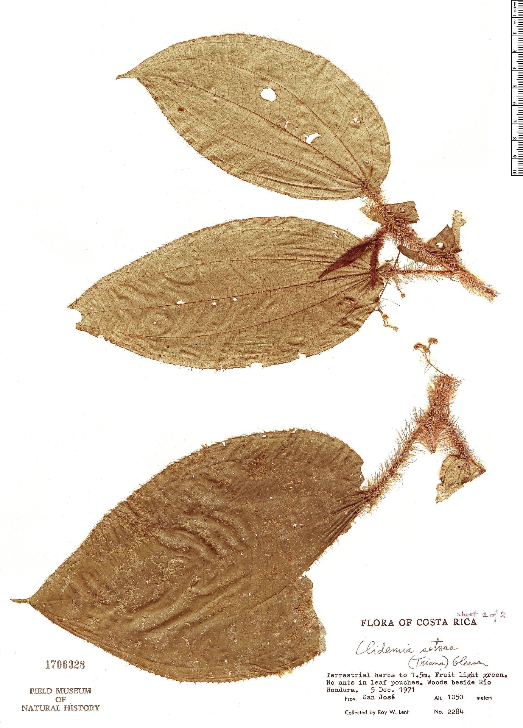Specimen: Clidemia setosa