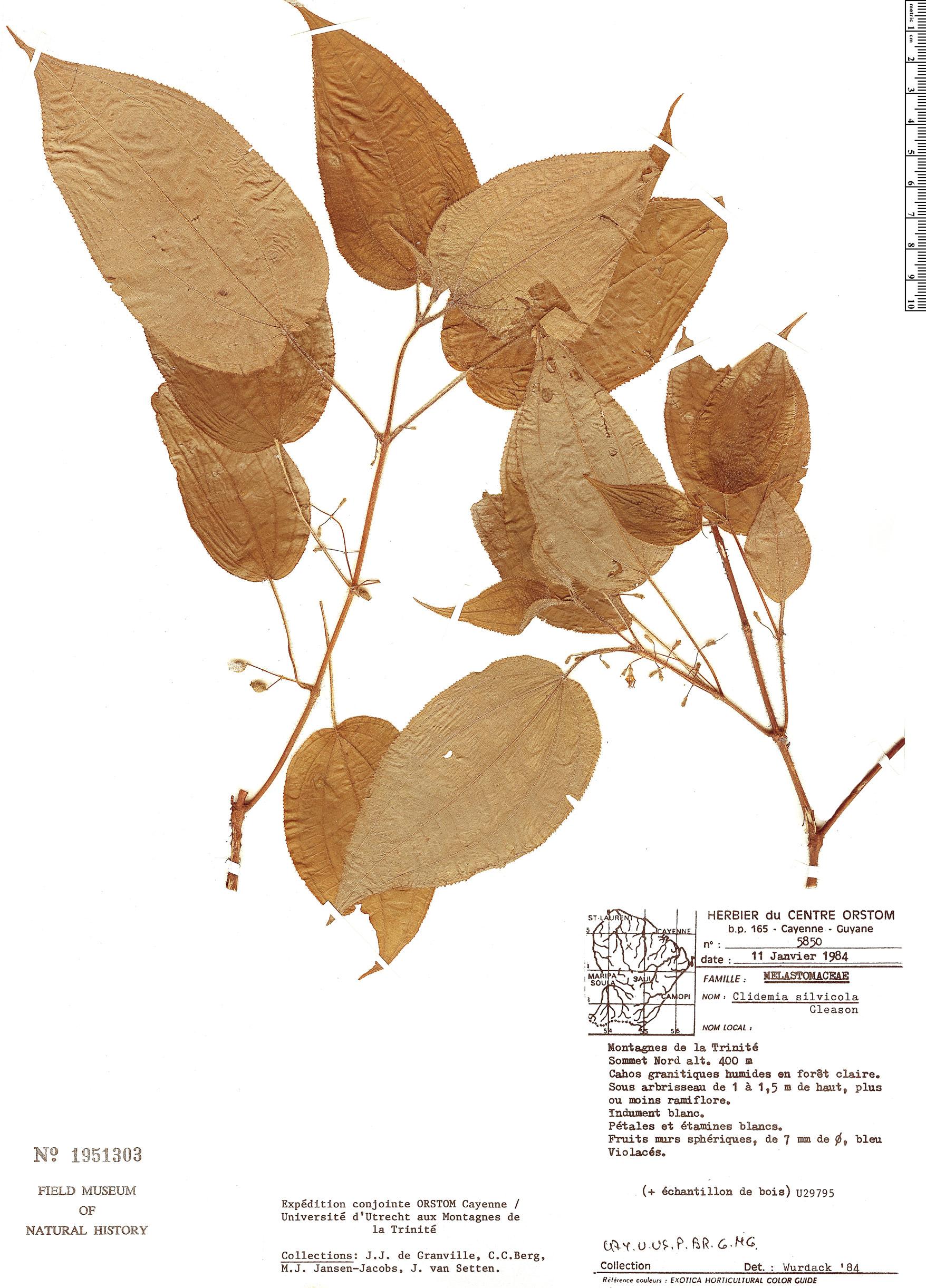 Specimen: Clidemia silvicola