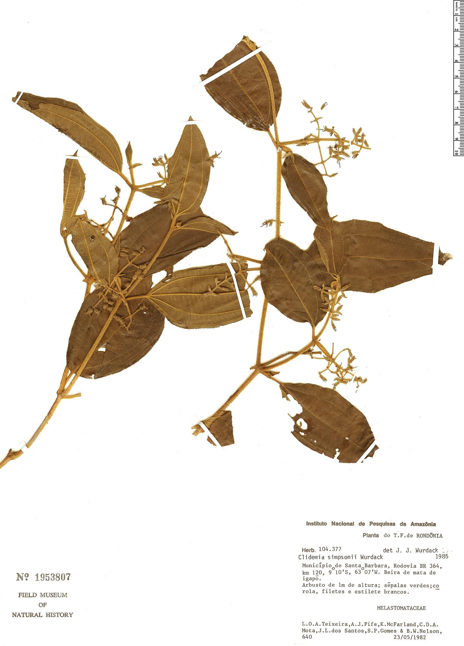 Specimen: Clidemia simpsonii