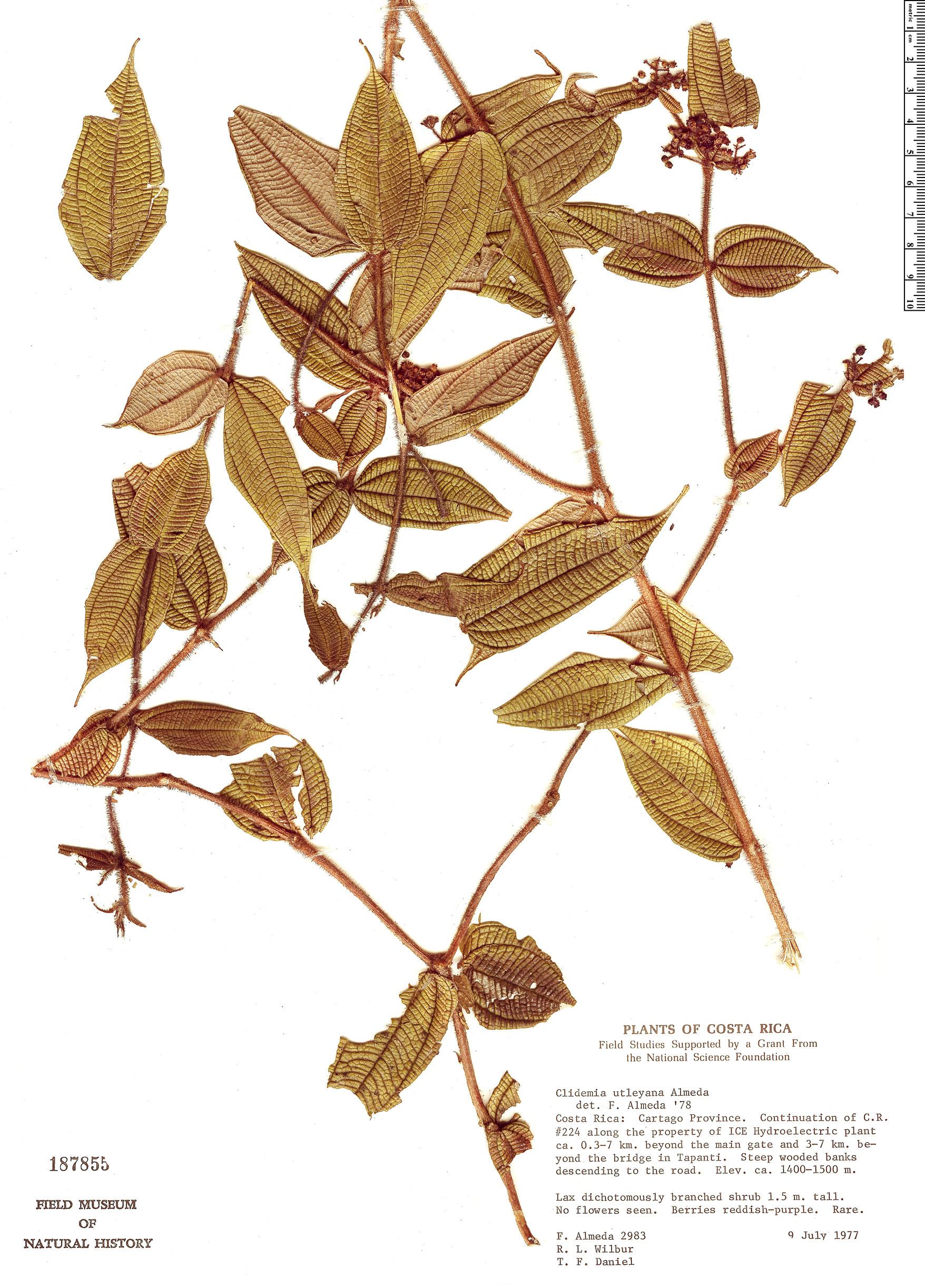 Specimen: Clidemia utleyana