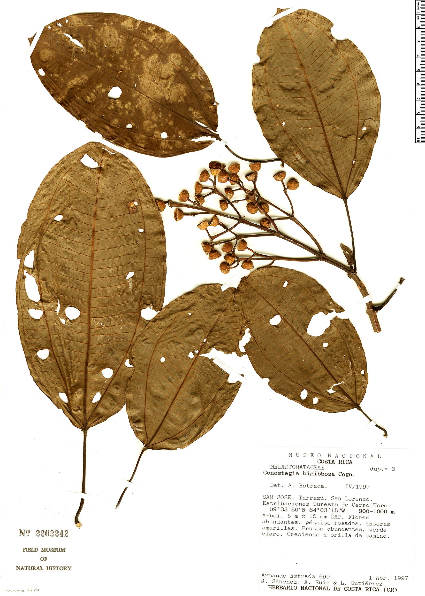 Specimen: Conostegia bigibbosa