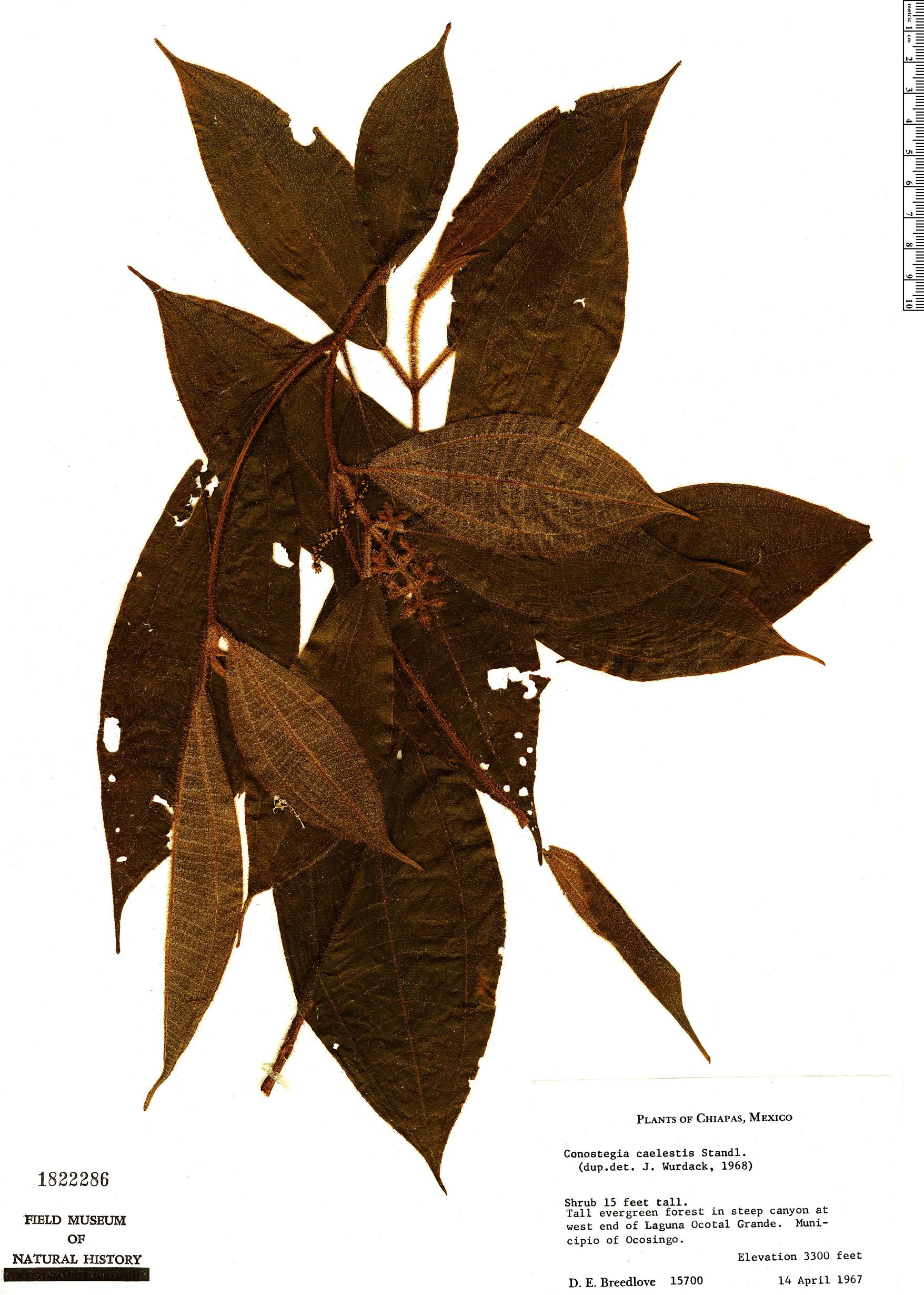 Specimen: Conostegia caelestis