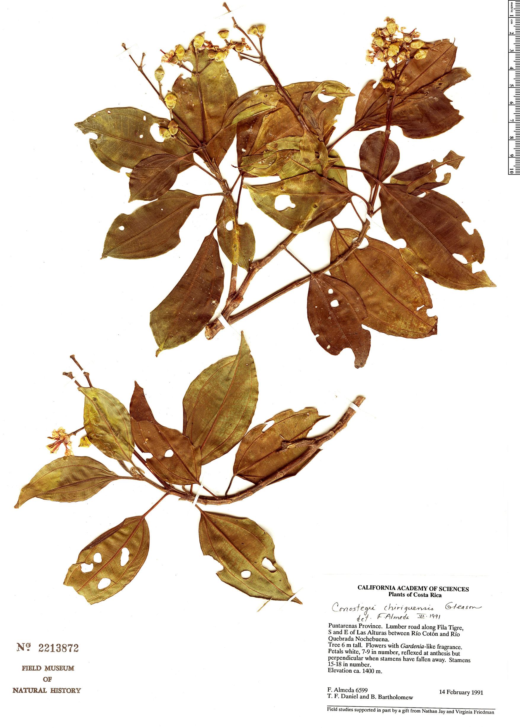 Specimen: Conostegia chiriquensis