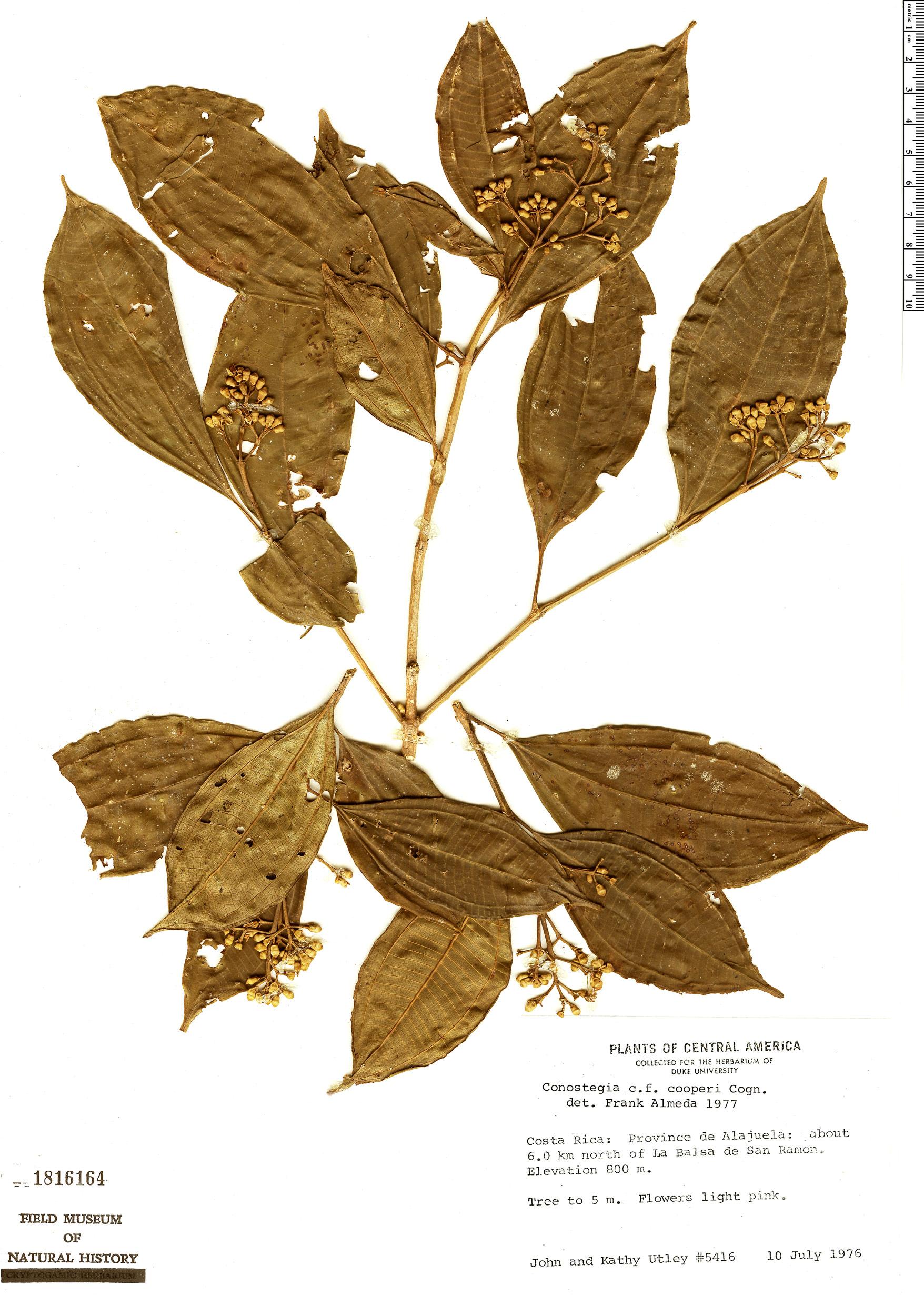 Specimen: Conostegia montana